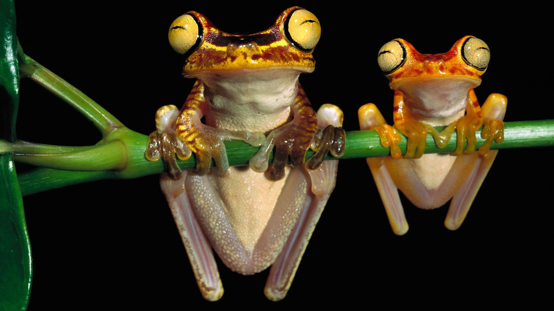 157394 Hintergrundbild herunterladen Tiere, Frösche, Paar, Ast, Zweig, Hängen, Aufhängen - Bildschirmschoner und Bilder kostenlos
