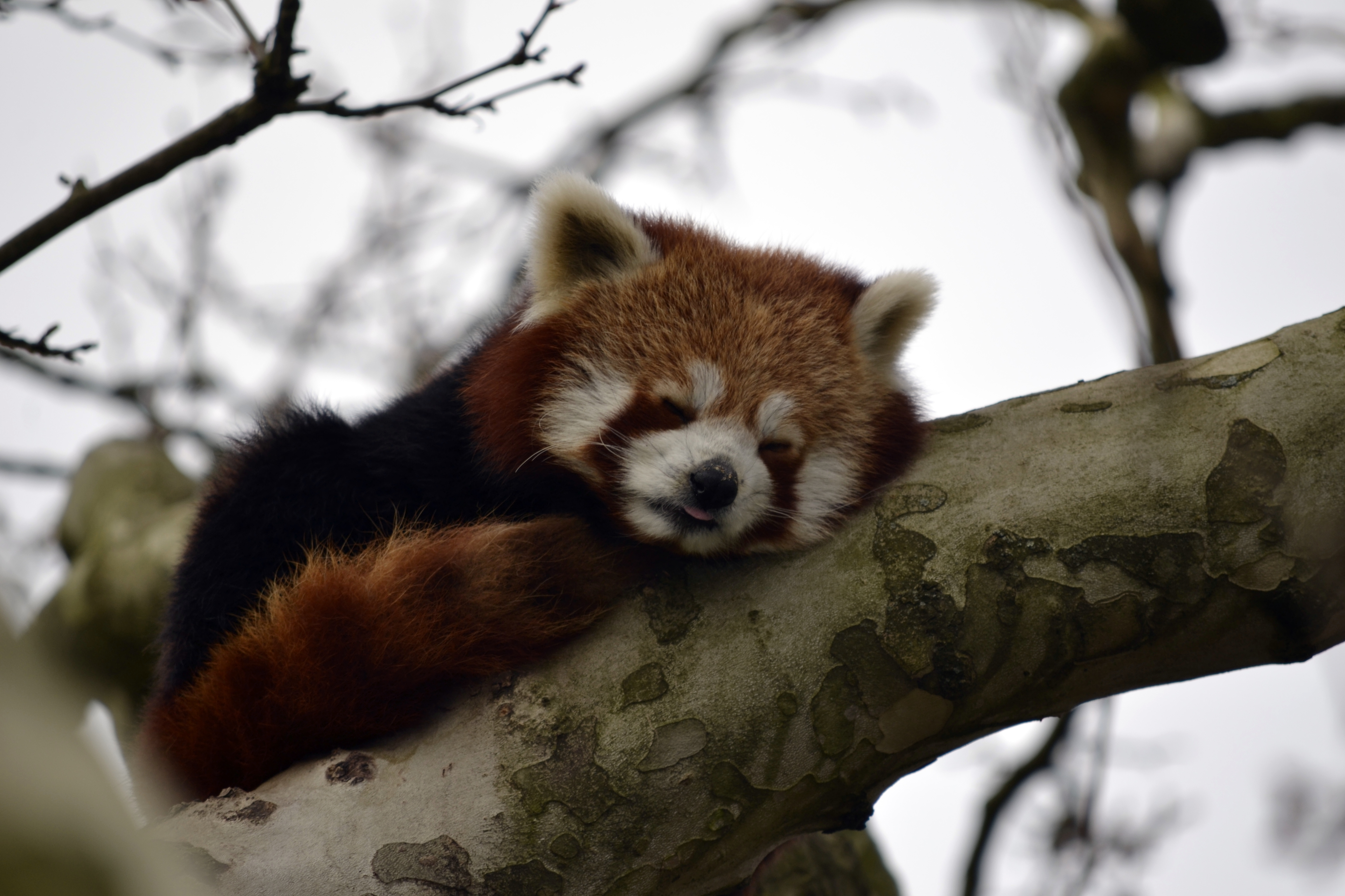 84889 download wallpaper Animals, Little Panda, Small Panda, Animal, Nice, Sweetheart, Wood, Tree, Branch screensavers and pictures for free