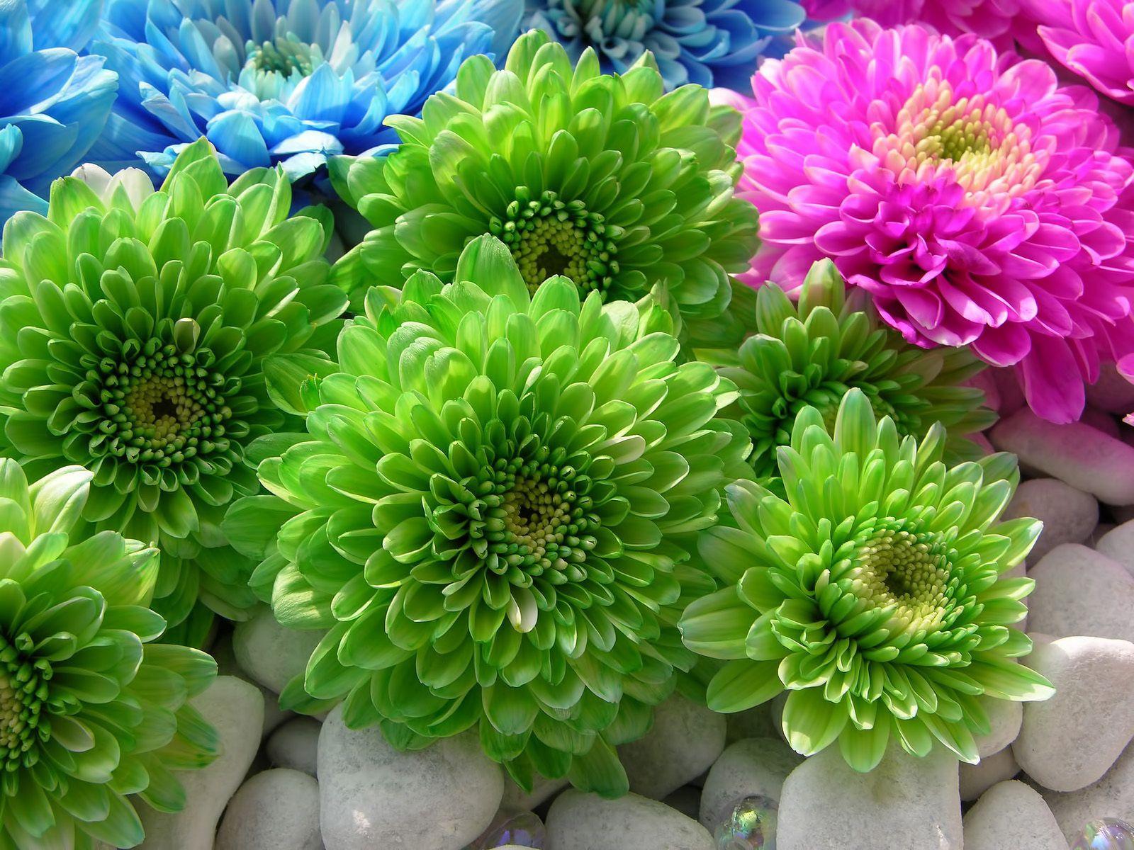 102367 скачать обои Хризантемы, Цветы, Камни, Яркие, Разноцветные - заставки и картинки бесплатно
