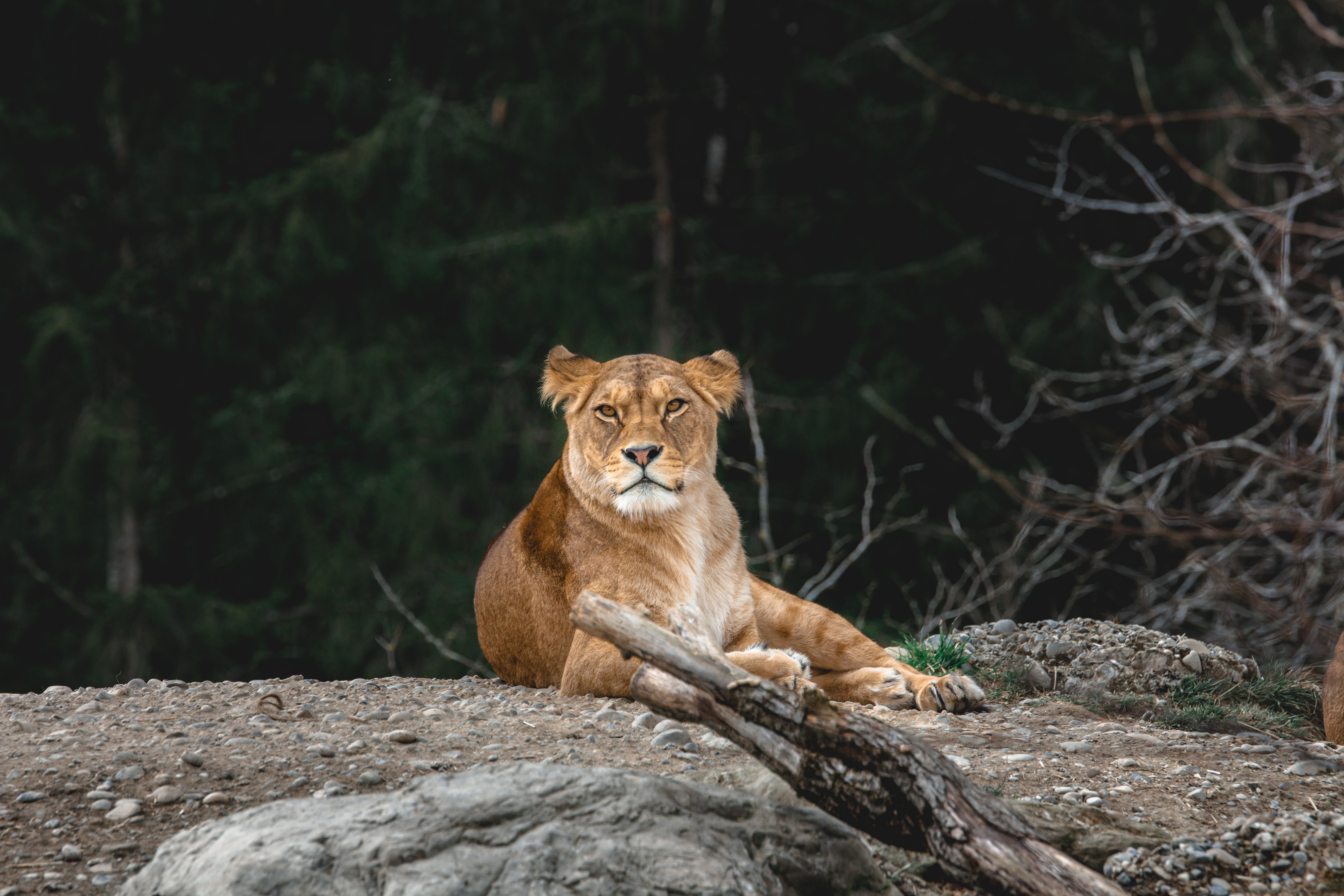 149693 download wallpaper Animals, Lioness, Predator, Sight, Opinion, Animal, Big Cat screensavers and pictures for free