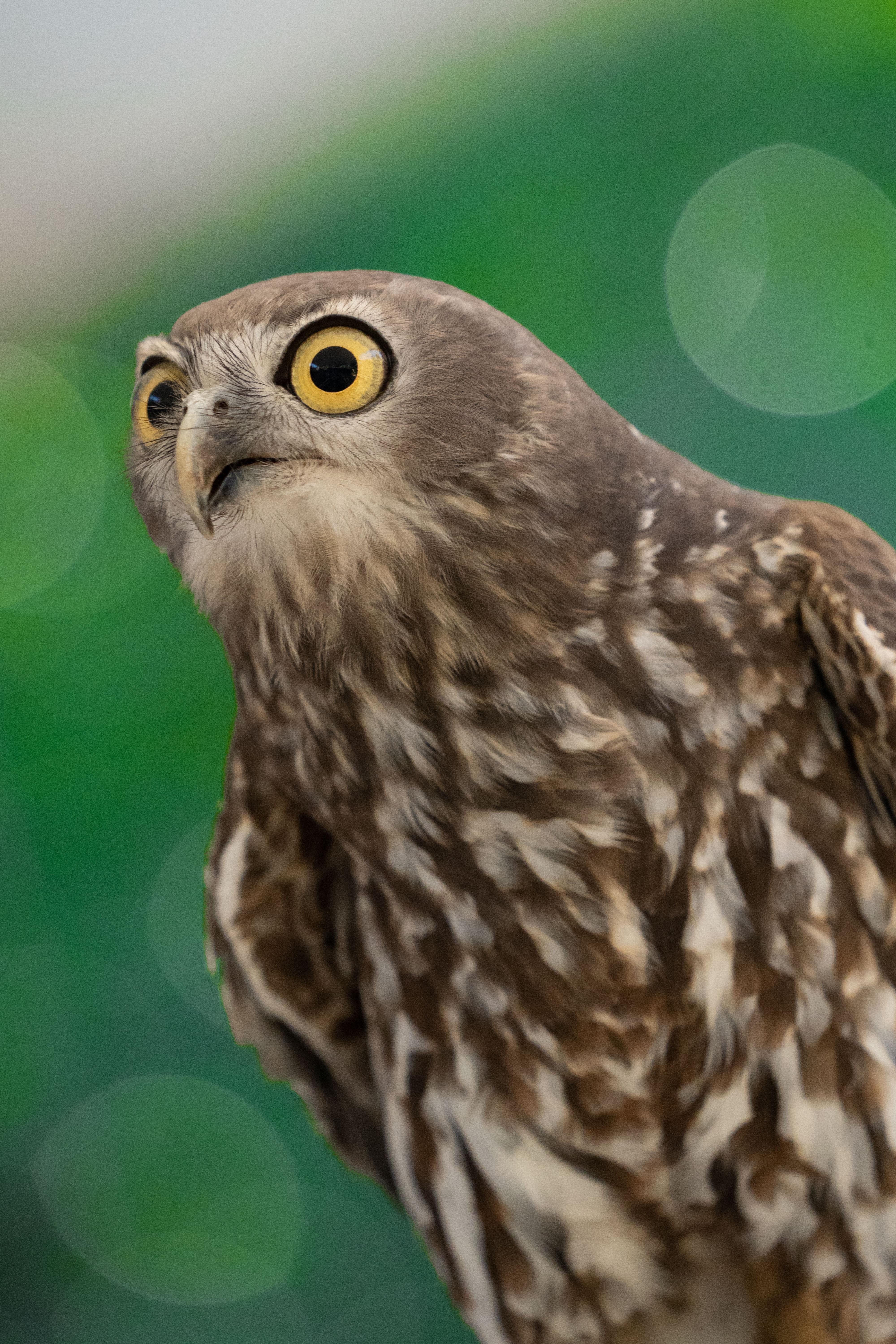 68645 download wallpaper Animals, Hawk, Bird, Funny, Predator screensavers and pictures for free