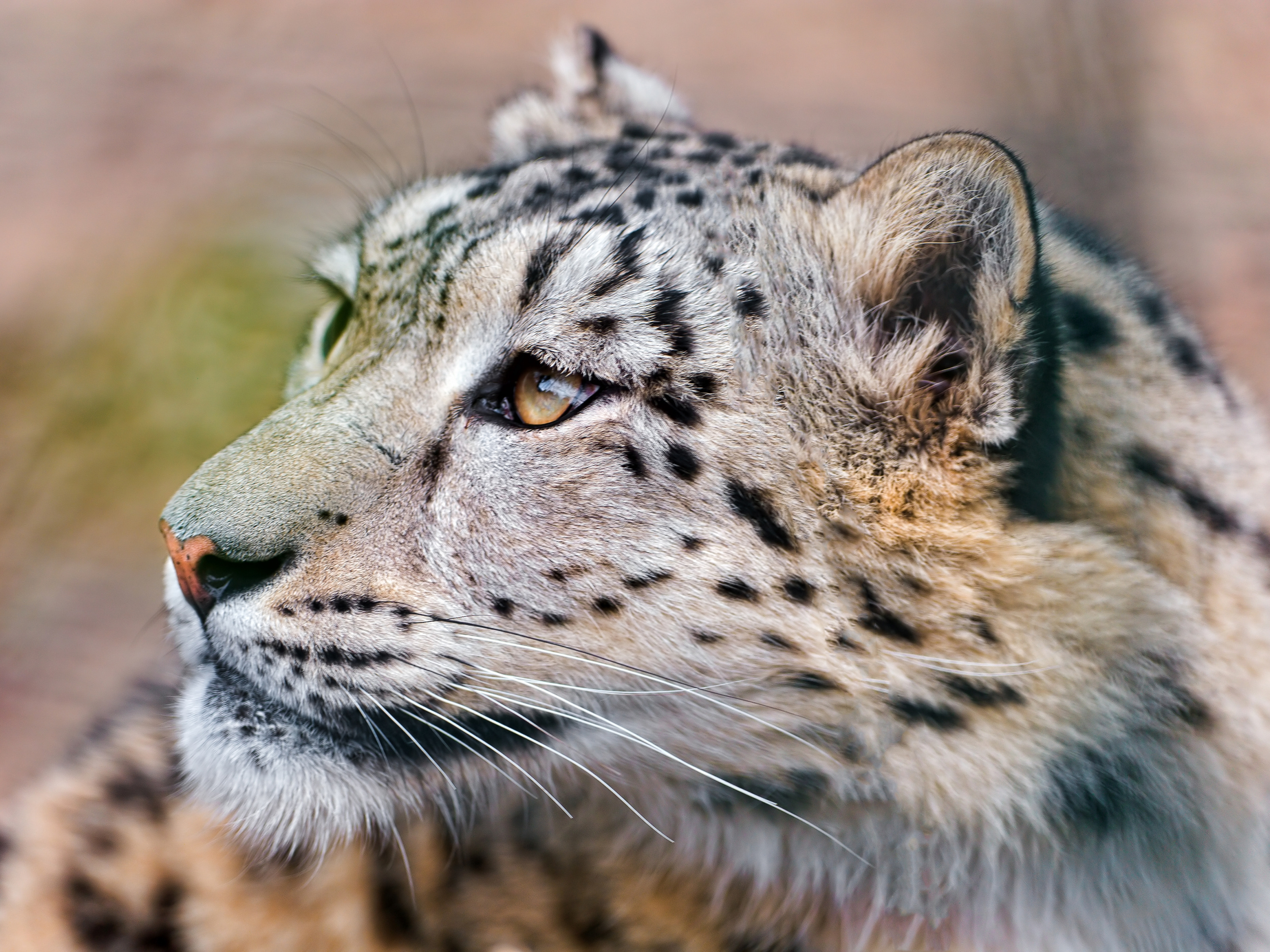 59654 download wallpaper Animals, Predator, Sight, Opinion, Big Cat, Snow Leopard screensavers and pictures for free