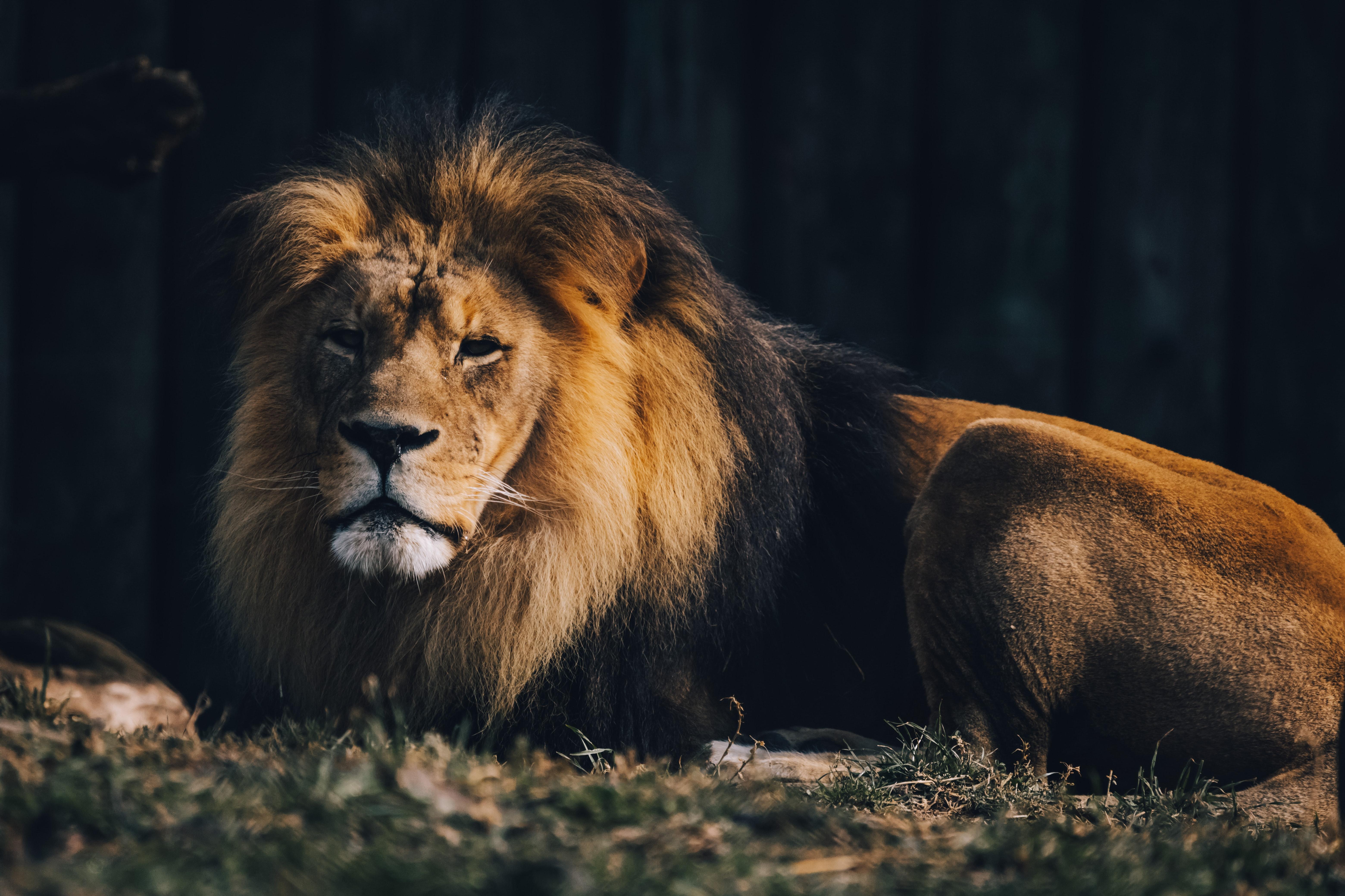 129894 économiseurs d'écran et fonds d'écran Gros Chat sur votre téléphone. Téléchargez Animaux, Marron, Un Lion, Lion, Gros Chat, Fauve, Sauvage, Prédateur Animal images gratuitement