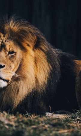 129894 download wallpaper Animals, Lion, Animal Predator, Big Cat, Brown, Wild screensavers and pictures for free