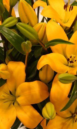 78200 скачать обои Цветы, Лилии, Бутоны, Листья - заставки и картинки бесплатно