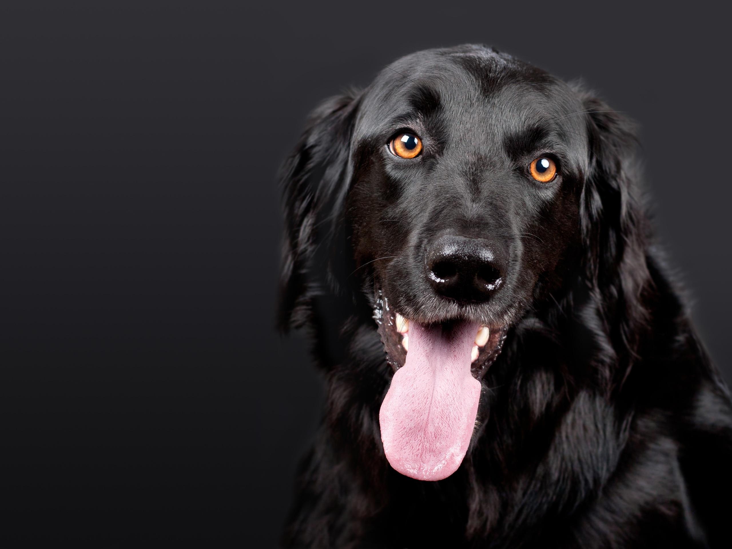 93865 Lade kostenlos Schwarz Hintergrundbilder für dein Handy herunter, Hund, Tiere, Schnauze, Das Schwarze, Hervorstehende Zunge, Zunge Herausgeklemmt, Hovawart, Howawart Schwarz Bilder und Bildschirmschoner für dein Handy