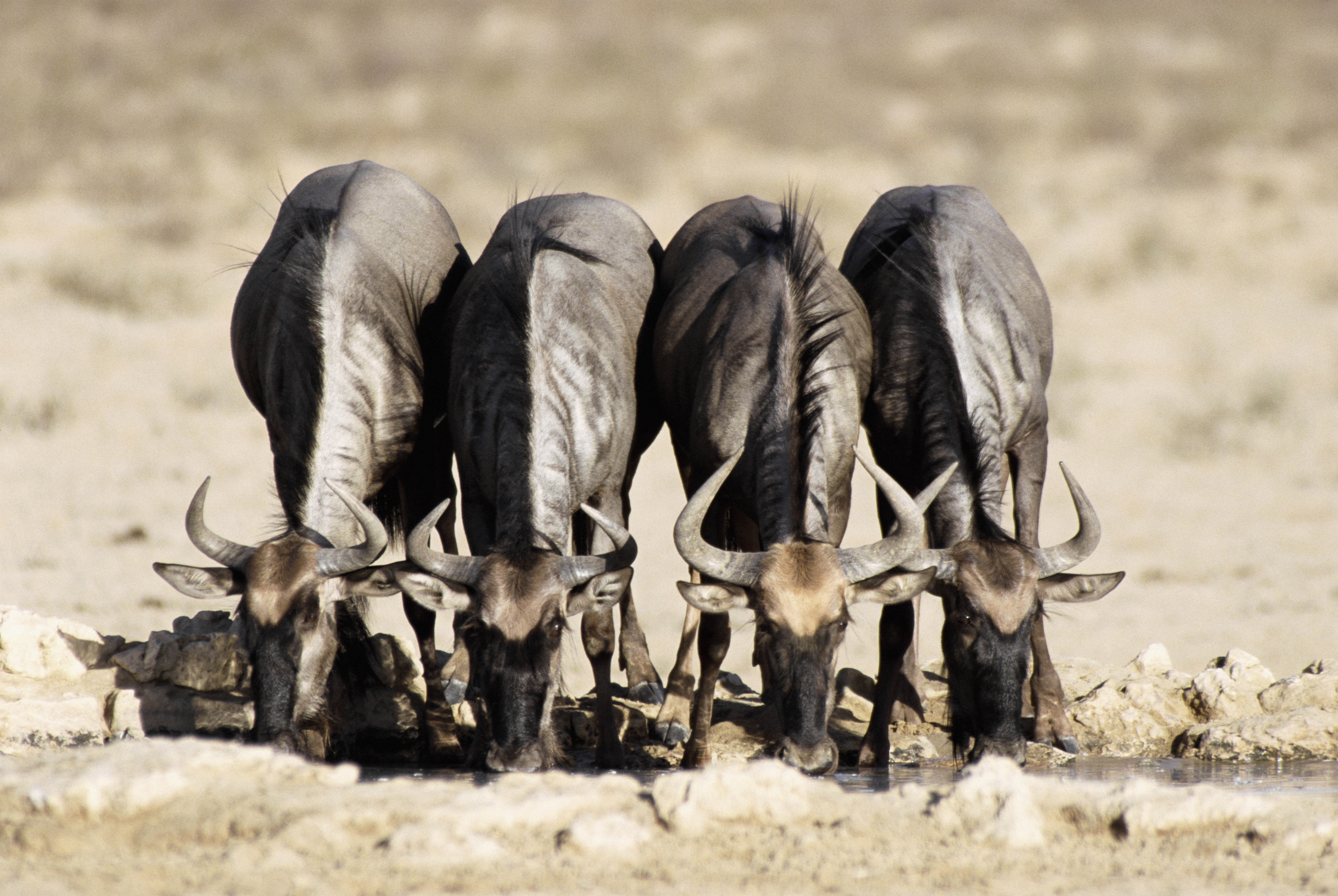 94014 download wallpaper Animals, Buffalo, Buffaloes, Waterhole, Watering, Horns screensavers and pictures for free