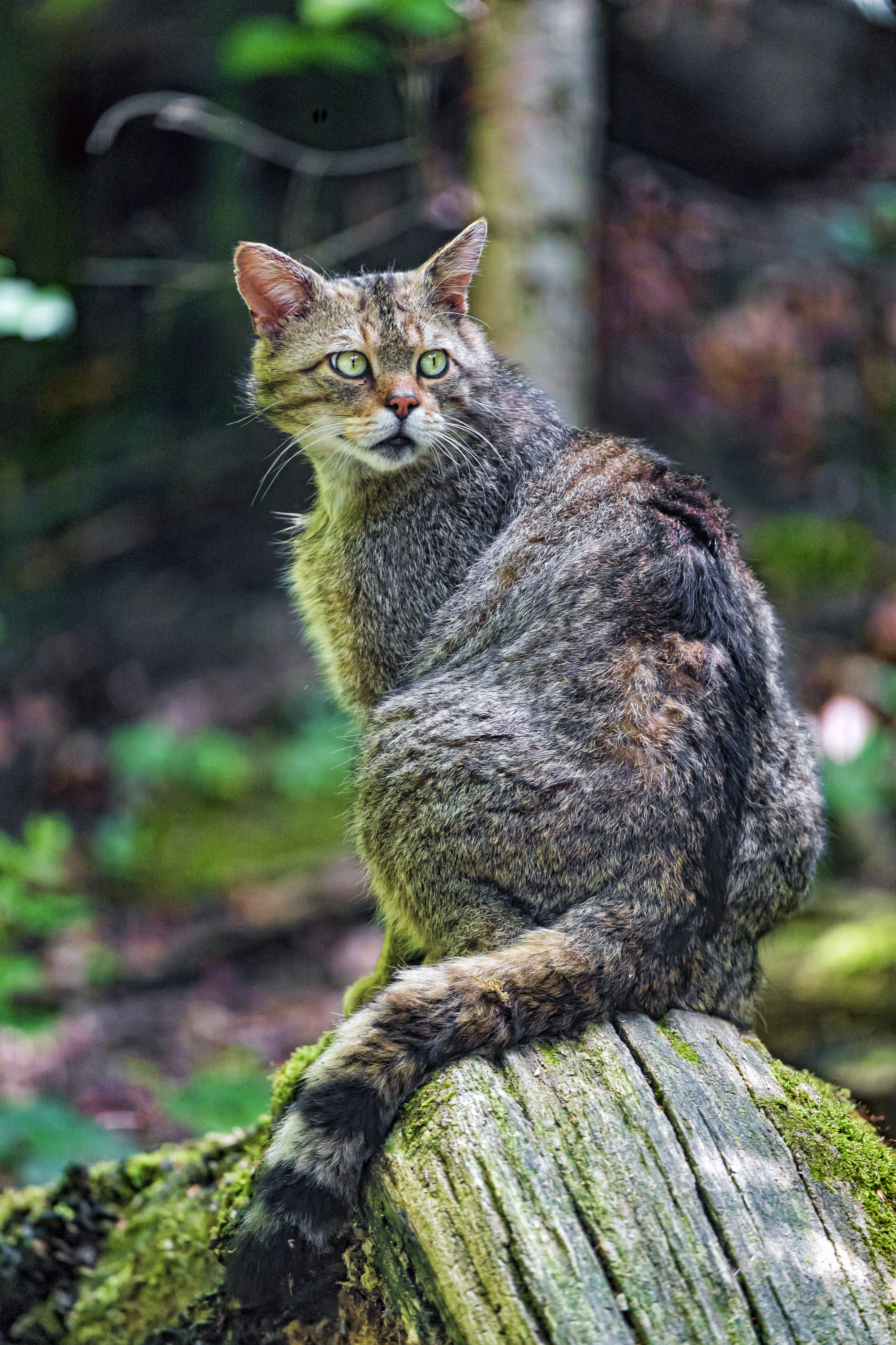 116771 download wallpaper Animals, Wild Cat, Cat, Wildlife, Look Around, Look Back screensavers and pictures for free