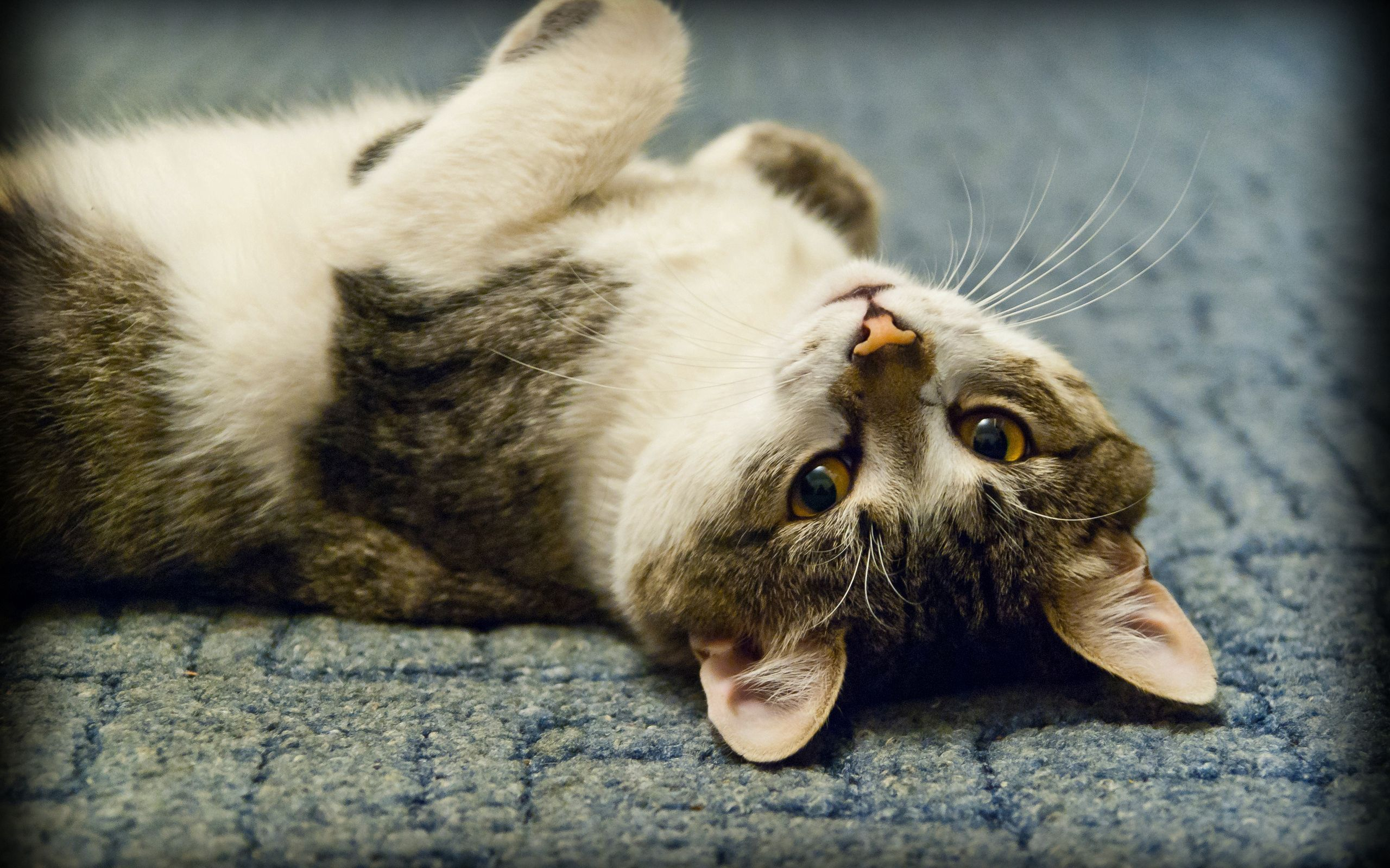 128752 download wallpaper Animals, Cat, To Lie Down, Lie, Play, Nice, Sweetheart screensavers and pictures for free