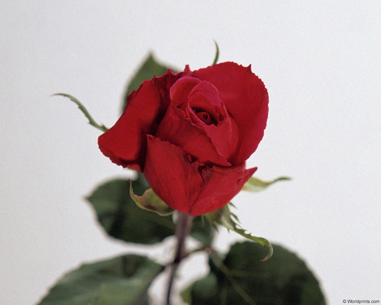 8083 скачать обои Растения, Цветы, Розы - заставки и картинки бесплатно