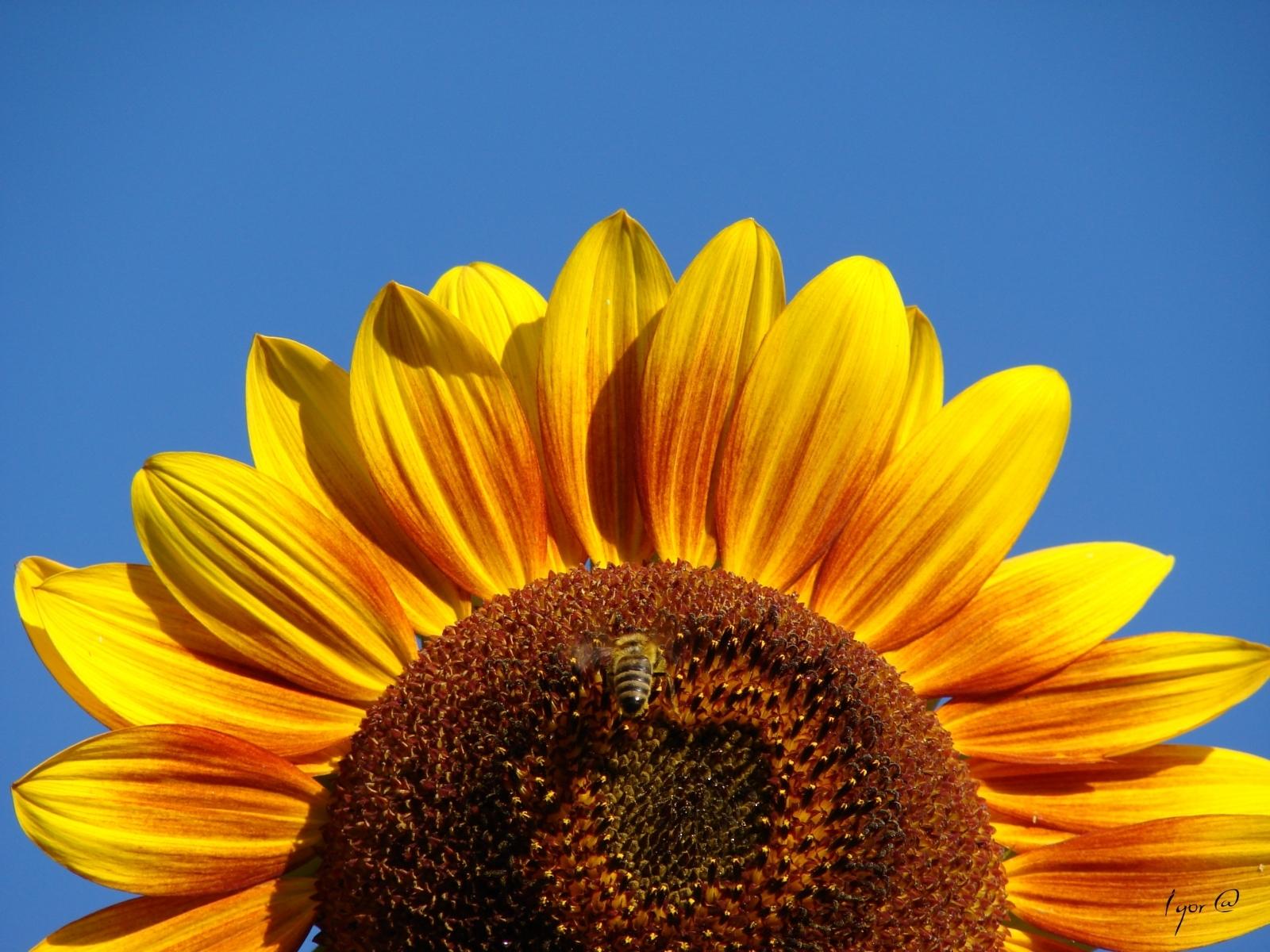 Скачать картинку Подсолнухи, Растения в телефон бесплатно.