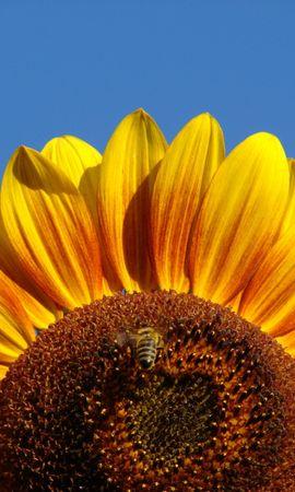 3563 descargar fondo de pantalla Plantas, Girasoles: protectores de pantalla e imágenes gratis