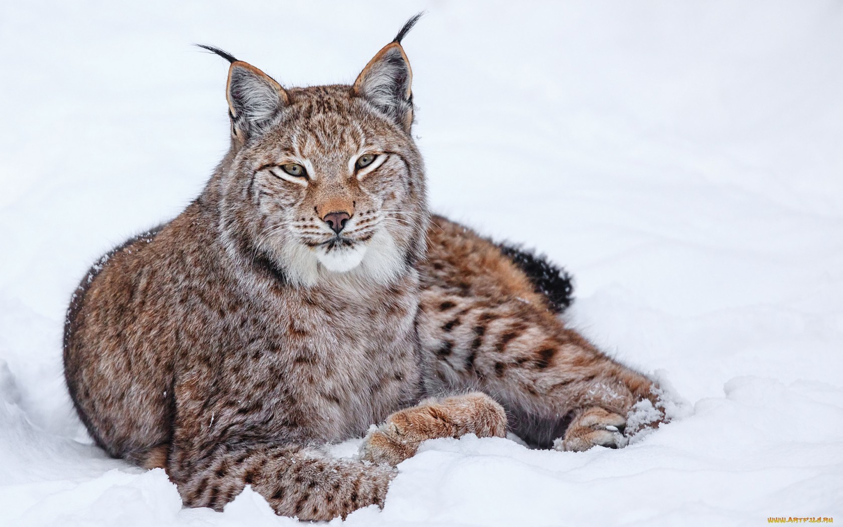 22302 download wallpaper Animals, Bobcats screensavers and pictures for free