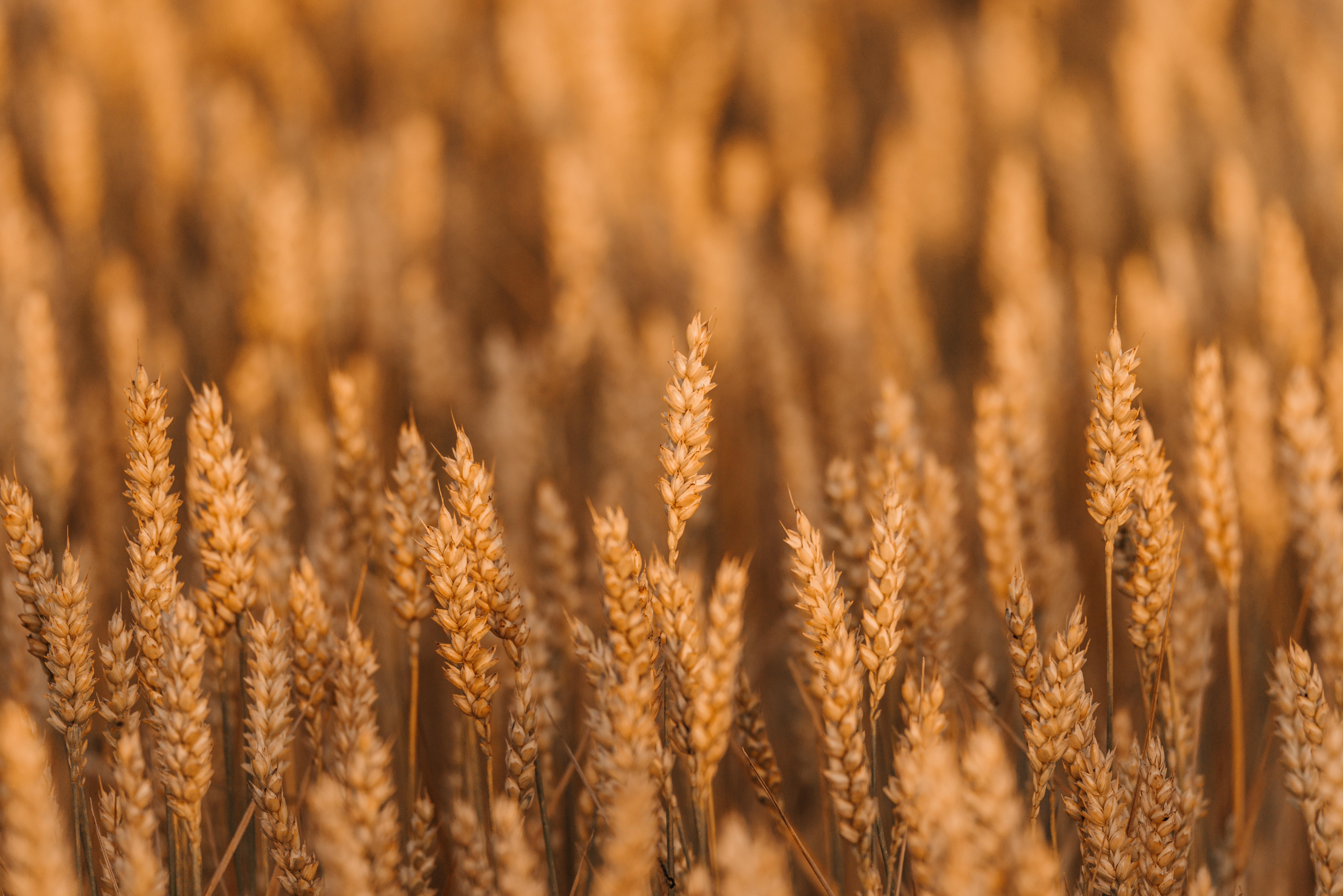 138643 скачать обои Макро, Колоски, Поле, Злаки, Растение, Пшеница - заставки и картинки бесплатно