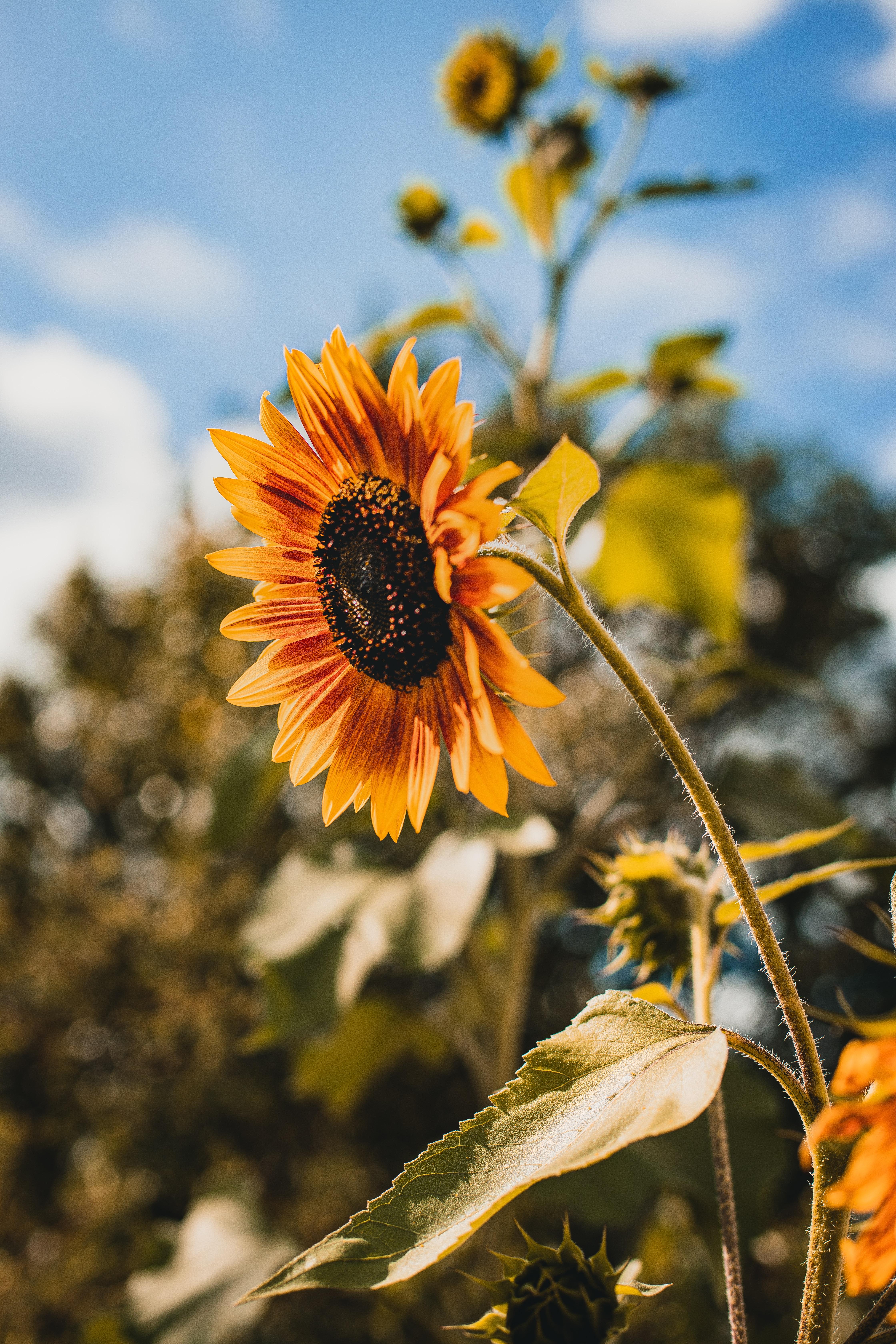 114366 免費下載壁紙 花卉, 向日葵, 花, 黄色的, 盛开, 开花 屏保和圖片