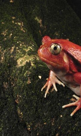 31042 baixar papel de parede Animais, Frogs - protetores de tela e imagens gratuitamente