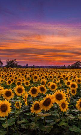 Завантажити безкоштовно картинку 59380: Природа, Поле, Захід, Небо, Хмари, Соняшники шпалери на телефон