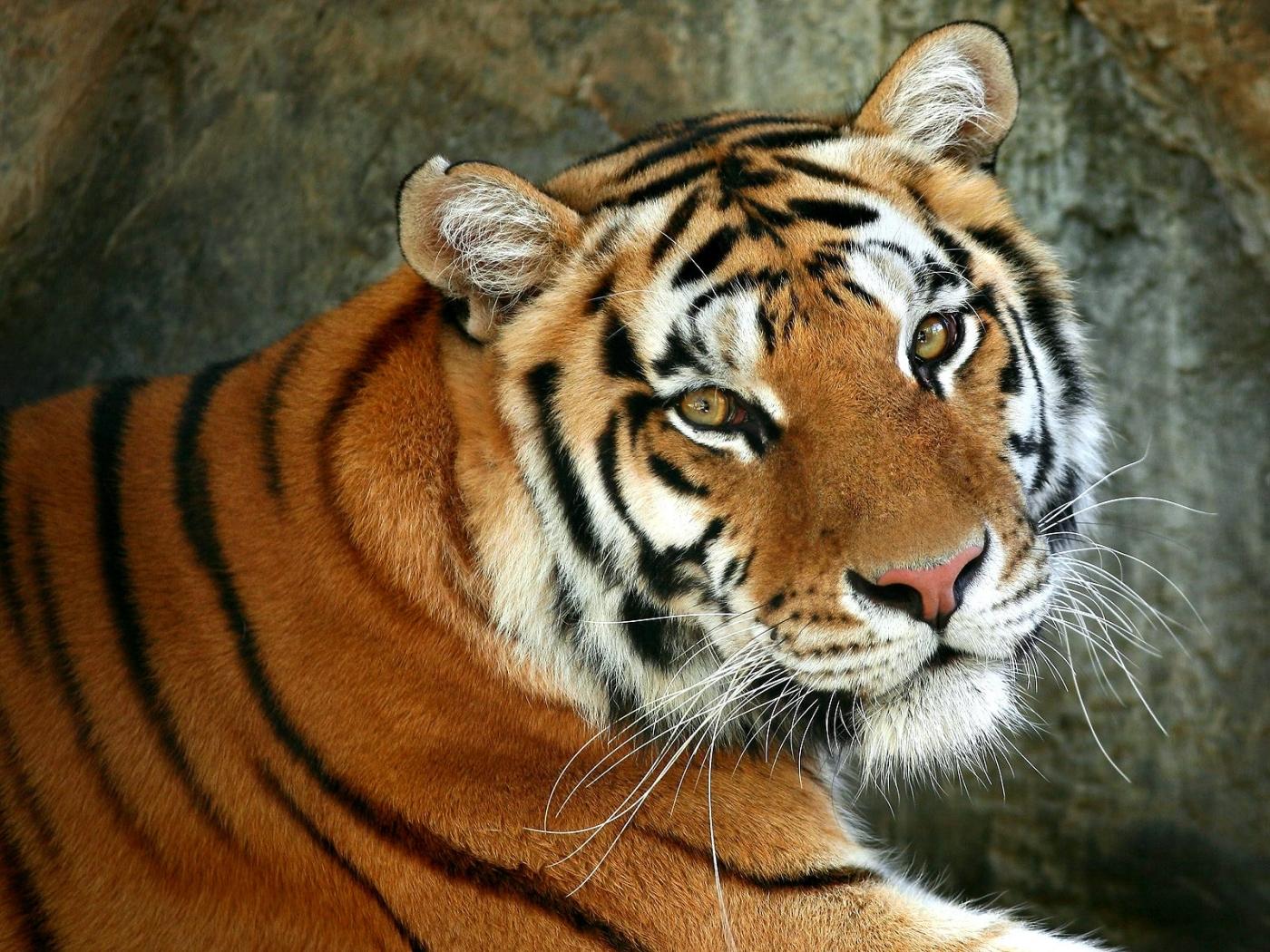 49859 descargar fondo de pantalla Animales, Tigres: protectores de pantalla e imágenes gratis