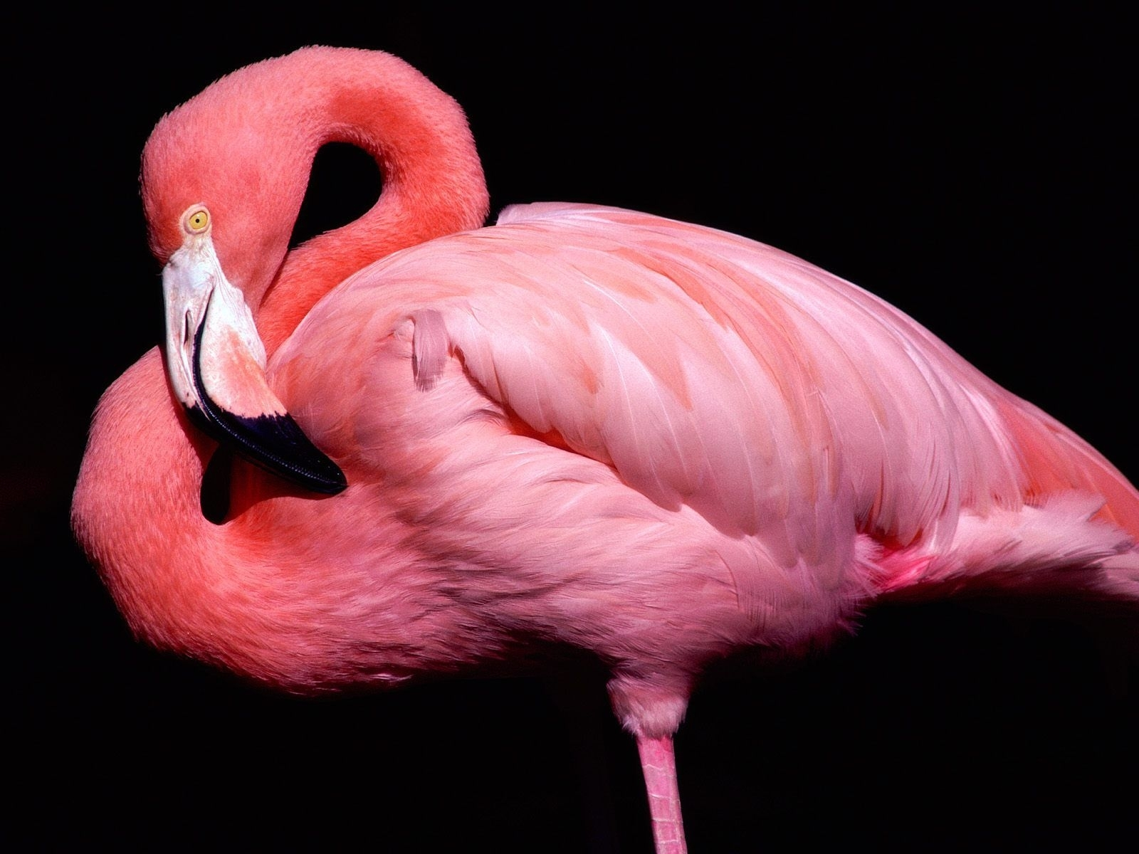 1881 download wallpaper Animals, Birds, Flamingo screensavers and pictures for free