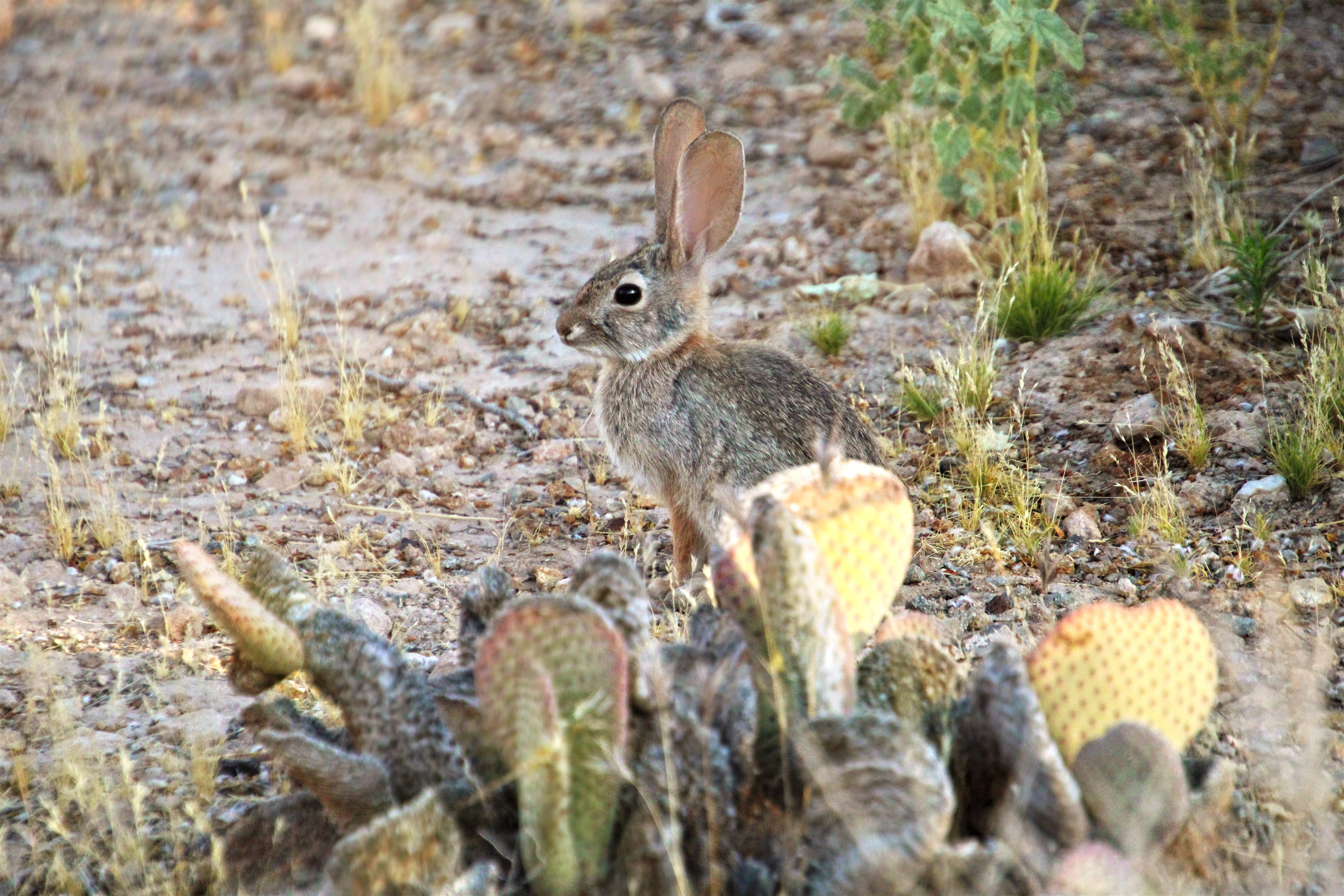 140574 download wallpaper Animals, Hare, Rabbit, Animal, Cactuses screensavers and pictures for free