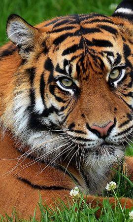 153402 baixar papel de parede Animais, Tigre, Gato Grande, Predator, Predador, Grama, Flores - protetores de tela e imagens gratuitamente