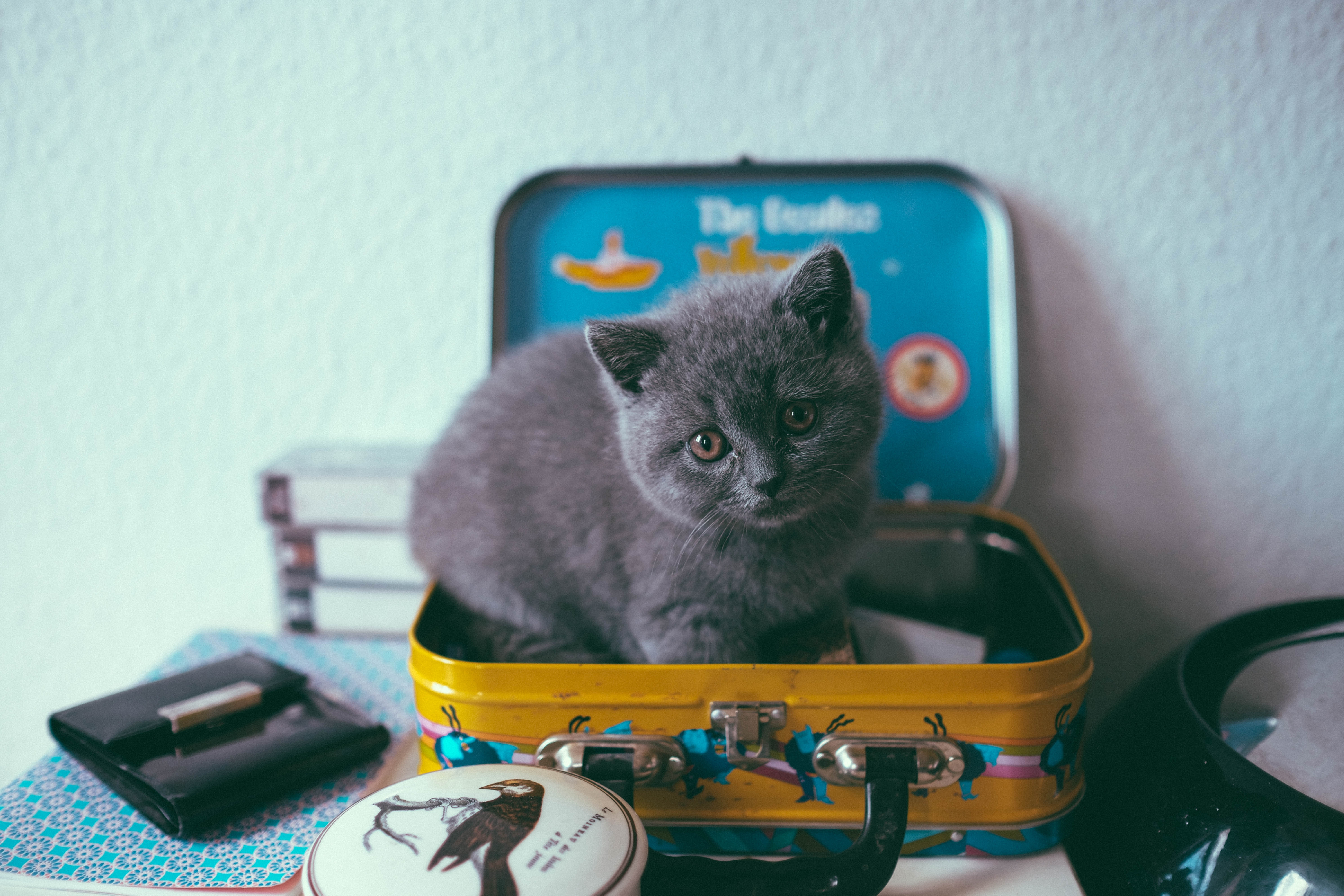 149566 Screensavers and Wallpapers Kitten for phone. Download Animals, Cat, Kitty, Kitten, Nice, Sweetheart, Suitcase pictures for free