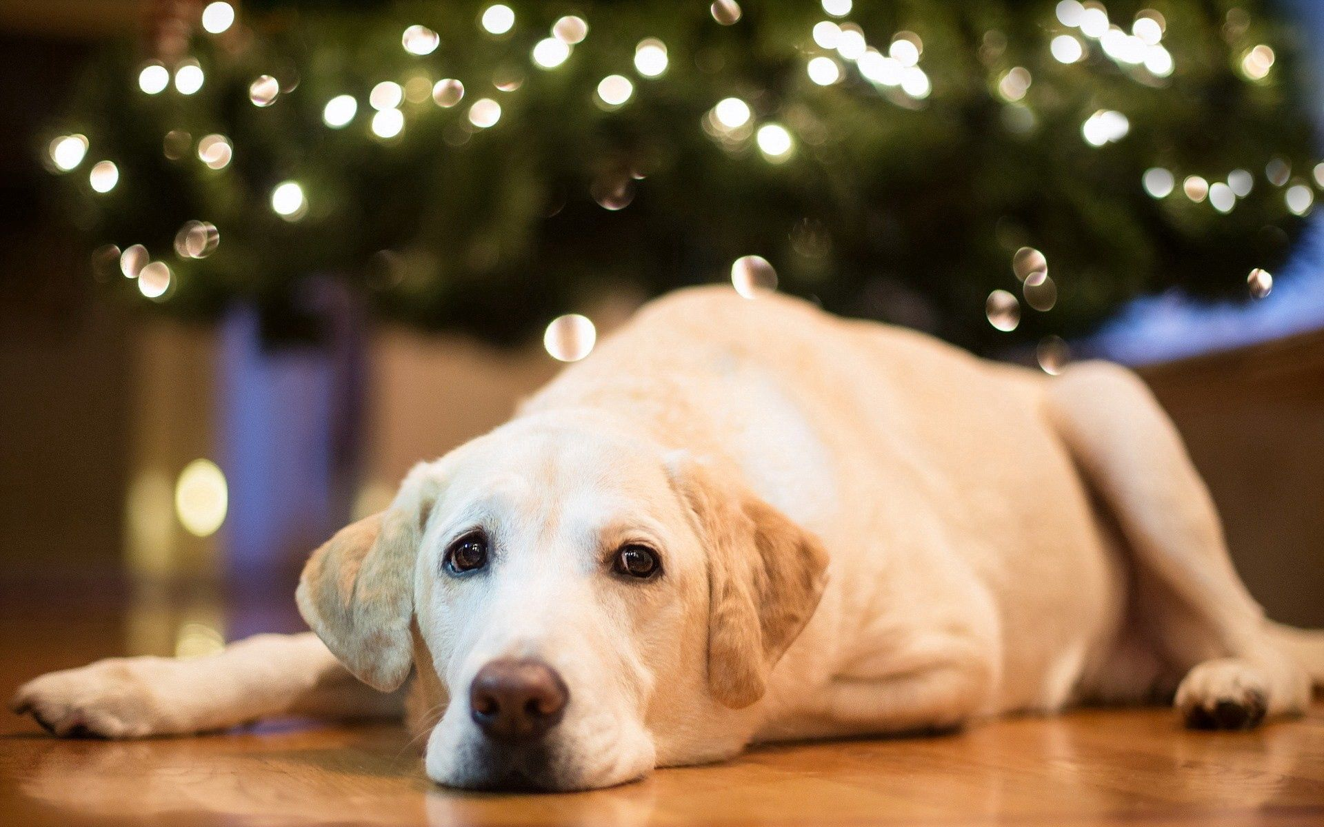136091 download wallpaper Animals, Dog, Labrador, To Lie Down, Lie, Muzzle screensavers and pictures for free