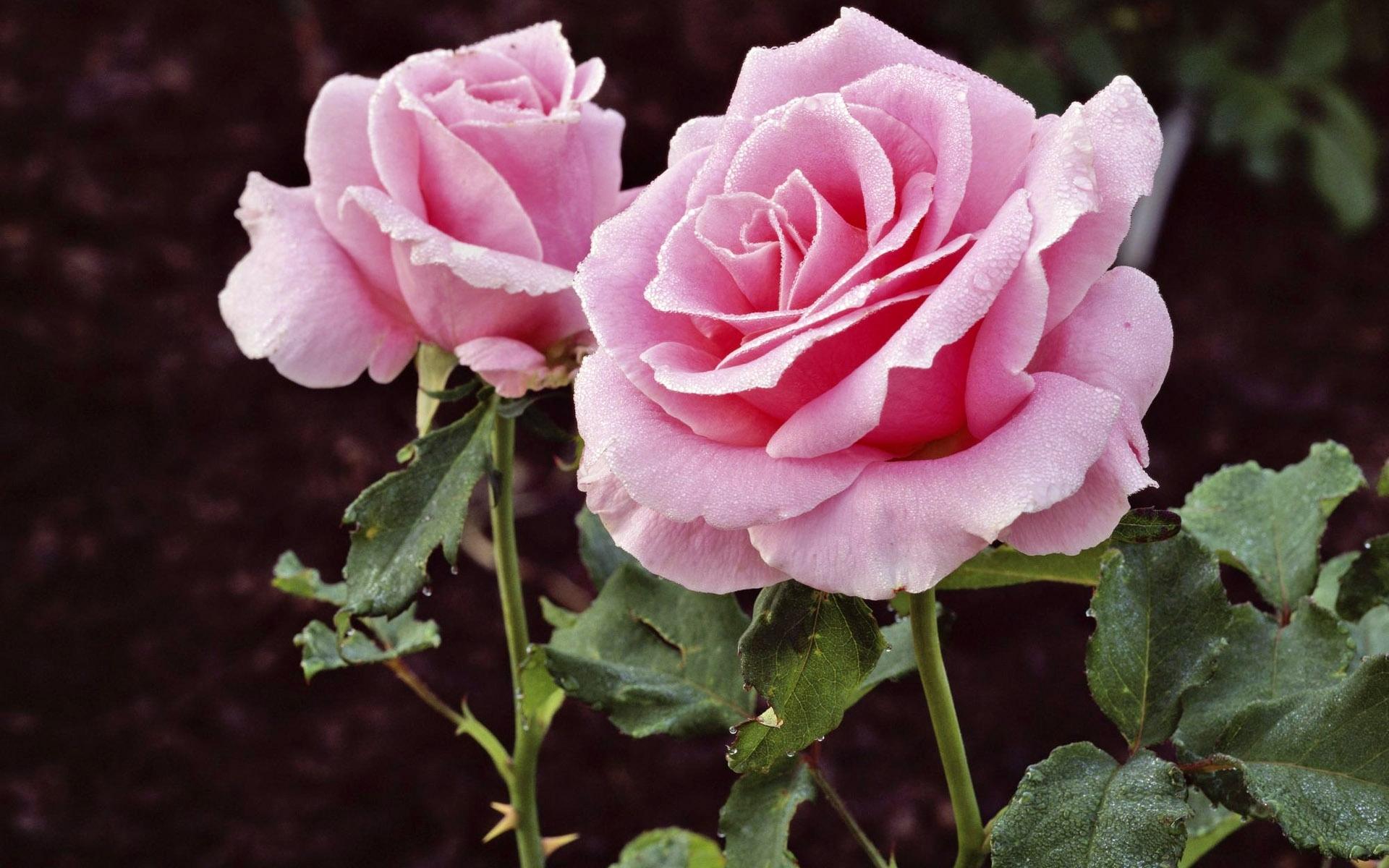 5706 скачать обои Растения, Цветы, Розы - заставки и картинки бесплатно