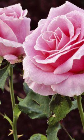 5706 télécharger le fond d'écran Plantes, Fleurs, Roses - économiseurs d'écran et images gratuitement