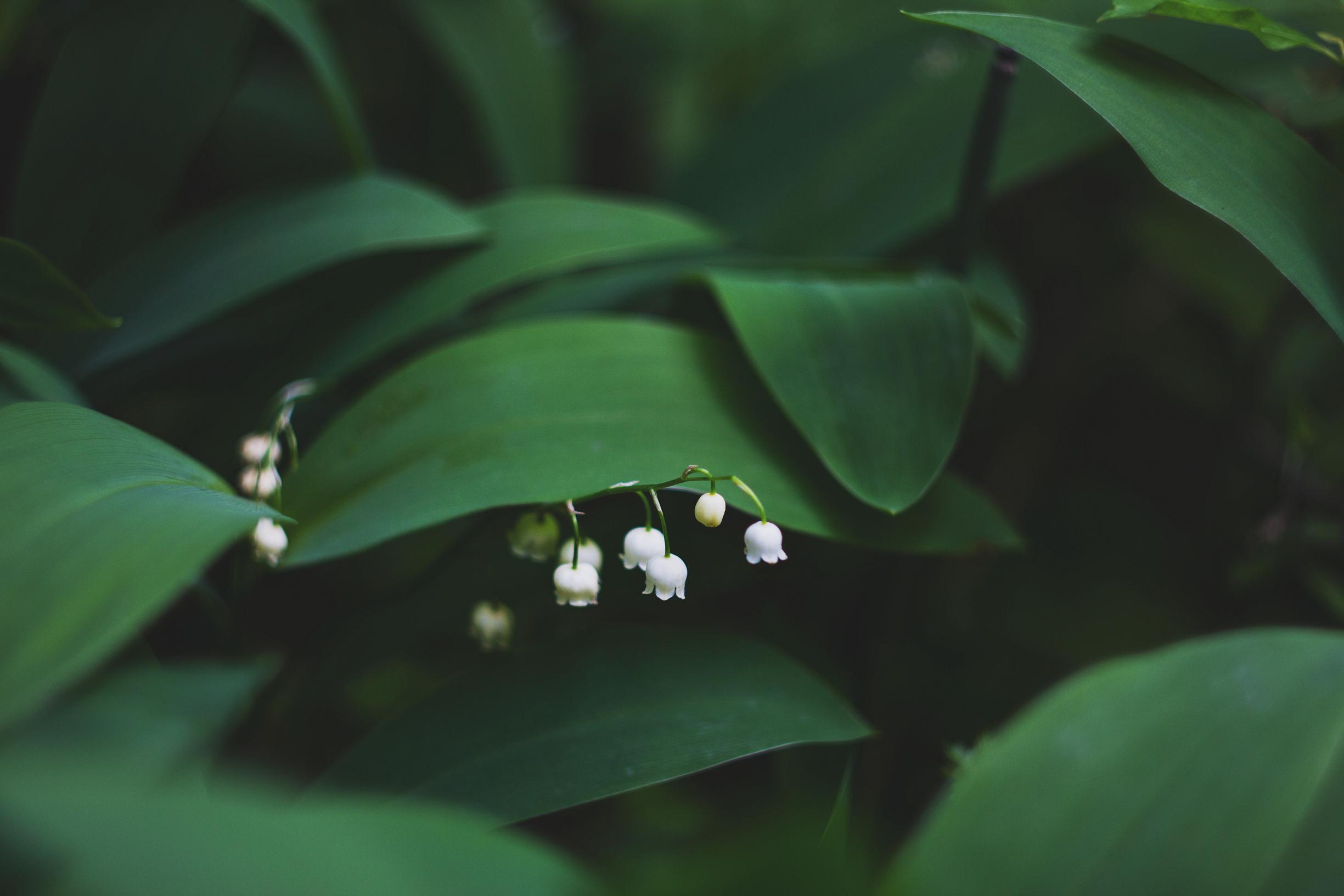 64160 免費下載壁紙 花卉, 叶, 铃兰 屏保和圖片