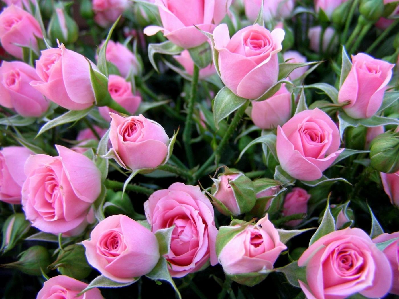 43692 Hintergrundbild herunterladen Pflanzen, Blumen, Roses - Bildschirmschoner und Bilder kostenlos