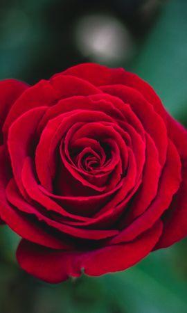 148847 baixar papel de parede Flores, Flor Rosa, Rosa, Bud, Botão - protetores de tela e imagens gratuitamente