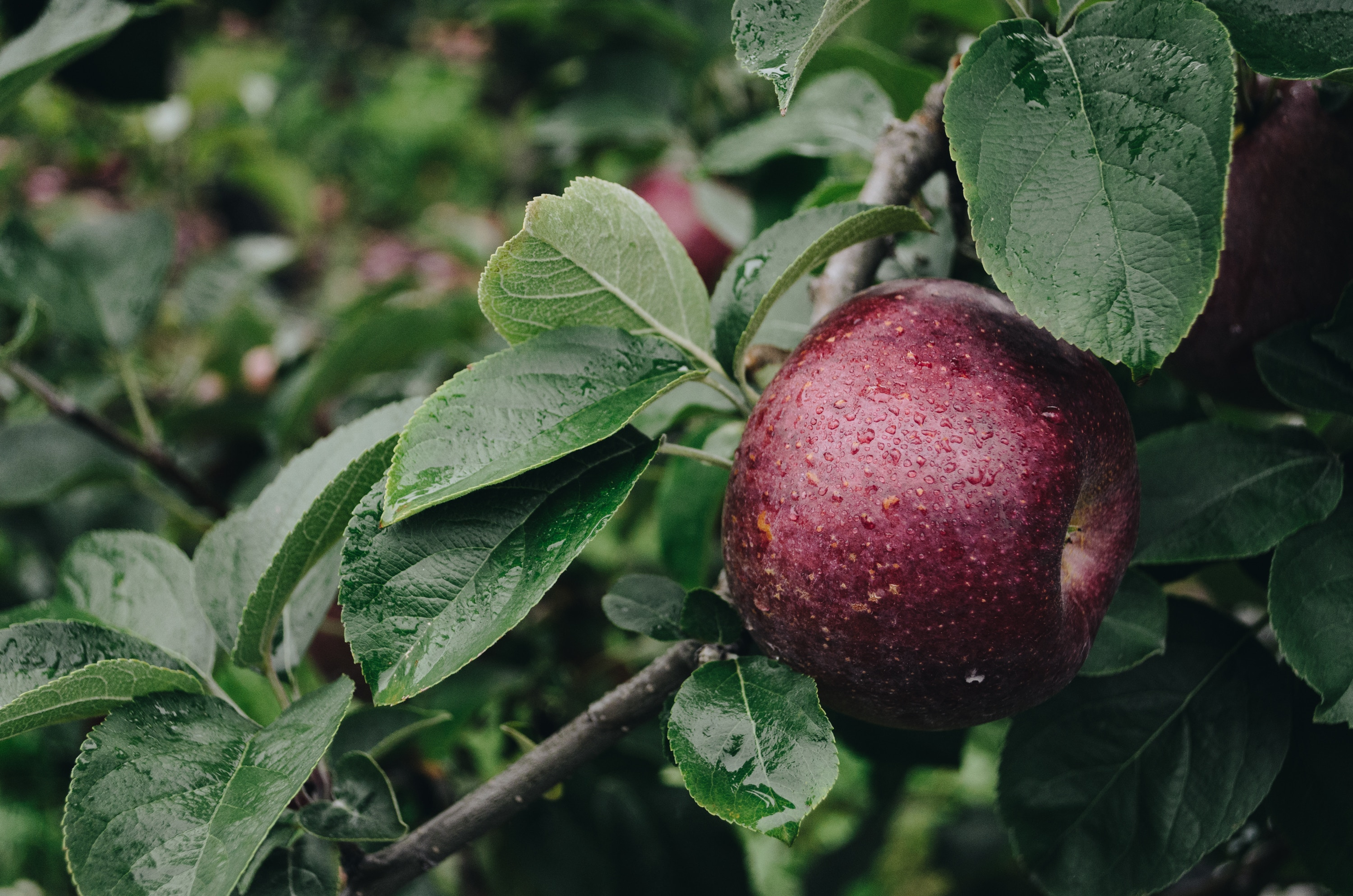 142854 download image Food, Apple, Drops, Branch - wallpapers and pictures for free