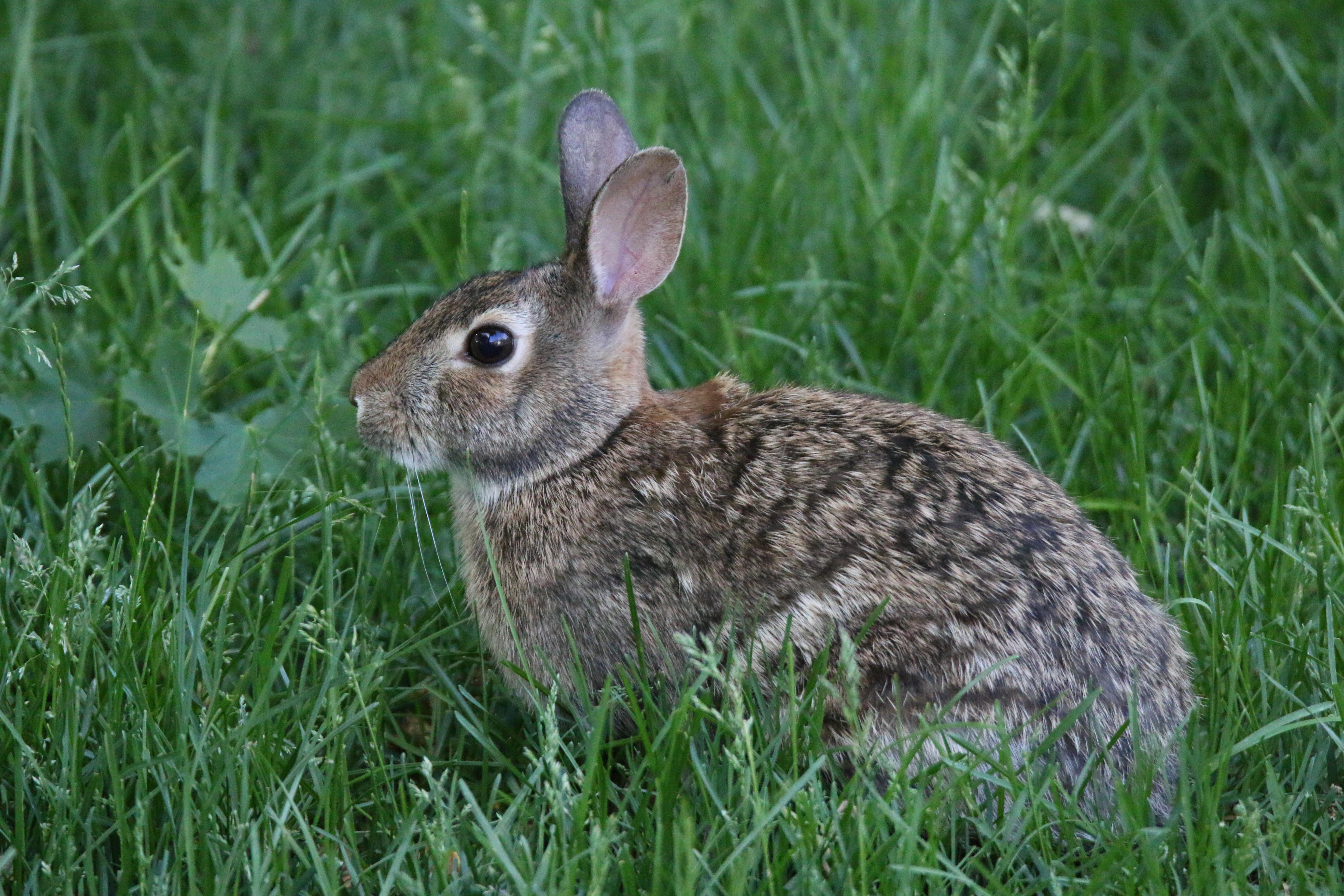 73643 скачать обои Животные, Кролик, Животное, Трава - заставки и картинки бесплатно