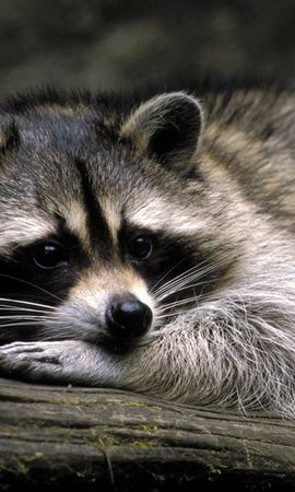 8402 download wallpaper Animals, Raccoons screensavers and pictures for free