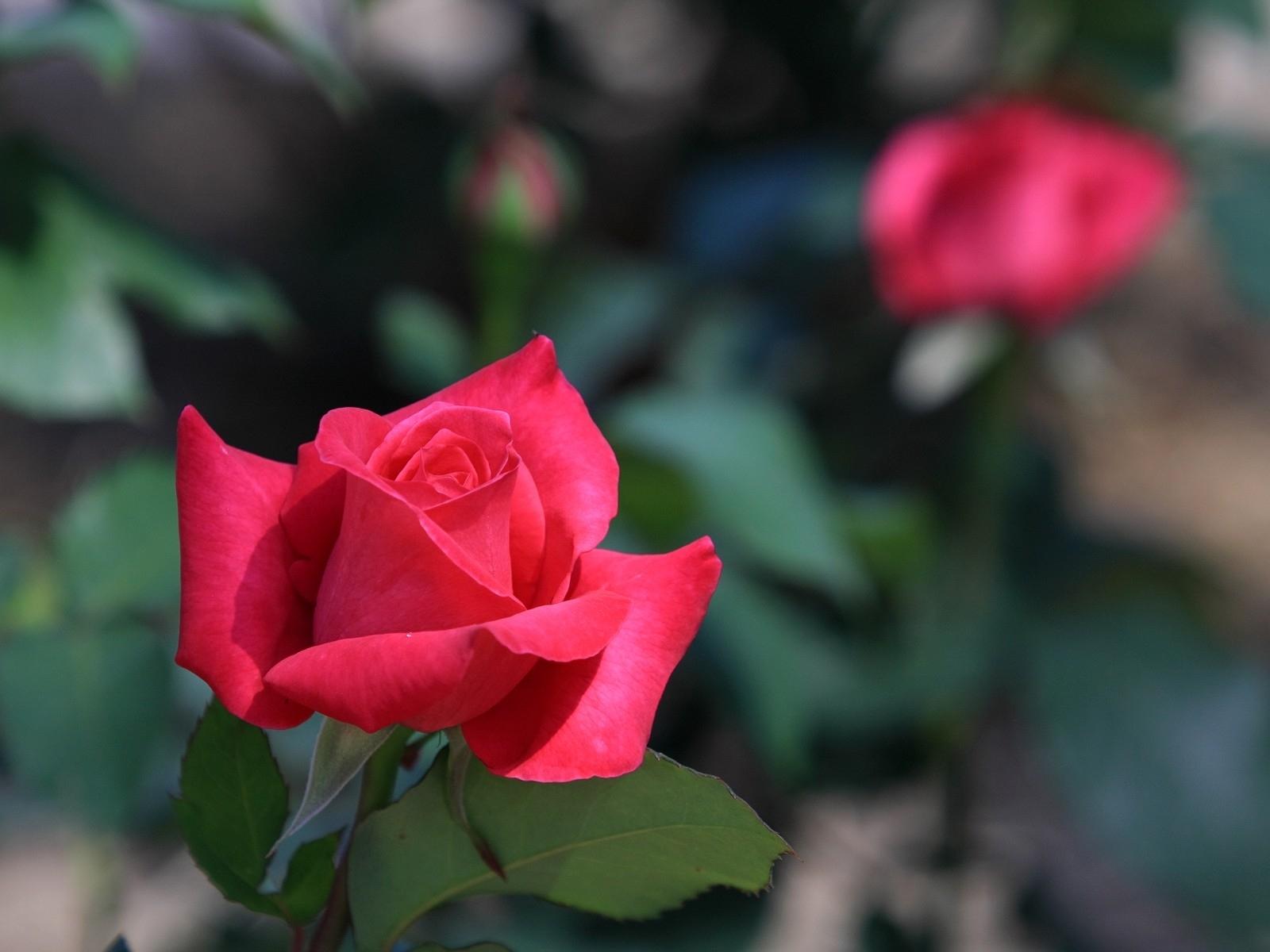 287 скачать обои Растения, Цветы, Розы - заставки и картинки бесплатно