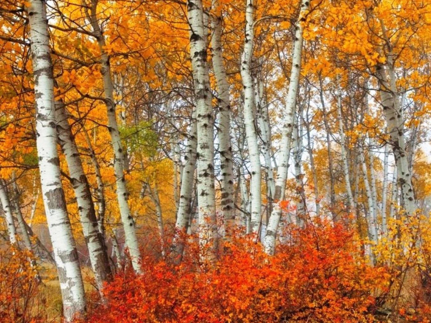 23417 скачать обои Пейзаж, Деревья, Осень, Березы - заставки и картинки бесплатно