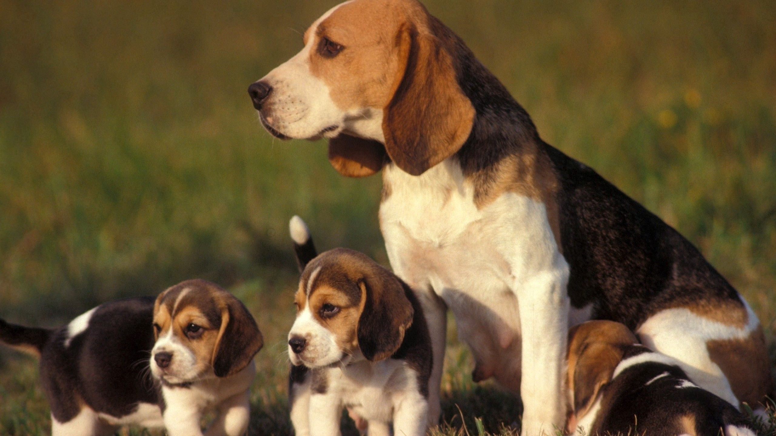 145553 download wallpaper Animals, Grass, Sit, Dog, Puppies screensavers and pictures for free