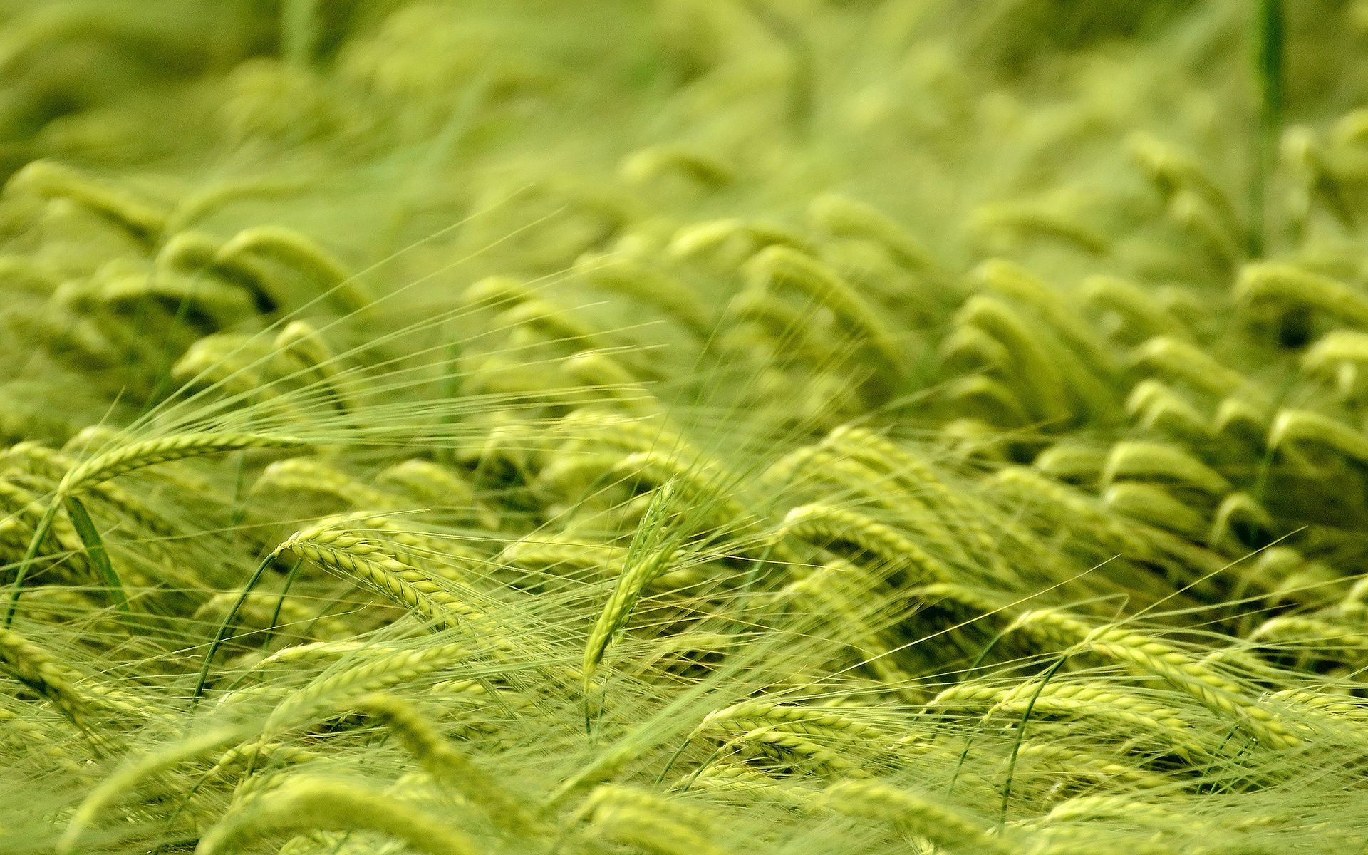 136555 download wallpaper Cones, Wheat, Macro, Field, Spikelets screensavers and pictures for free