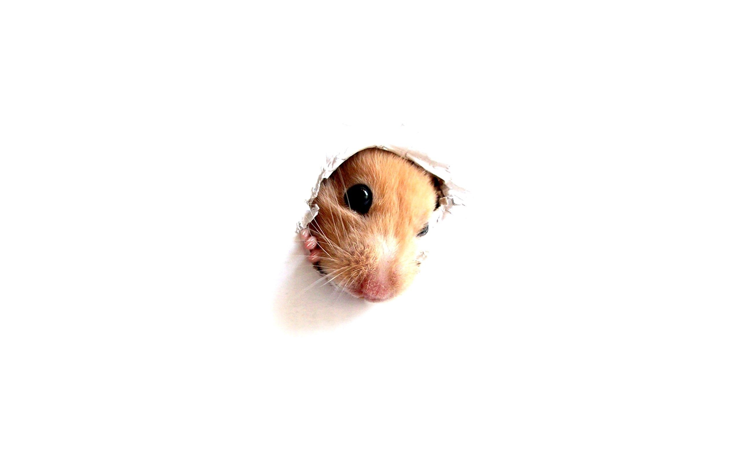 114364 download wallpaper Animals, Hamster, Rodent, Muzzle, Paper, Hole screensavers and pictures for free