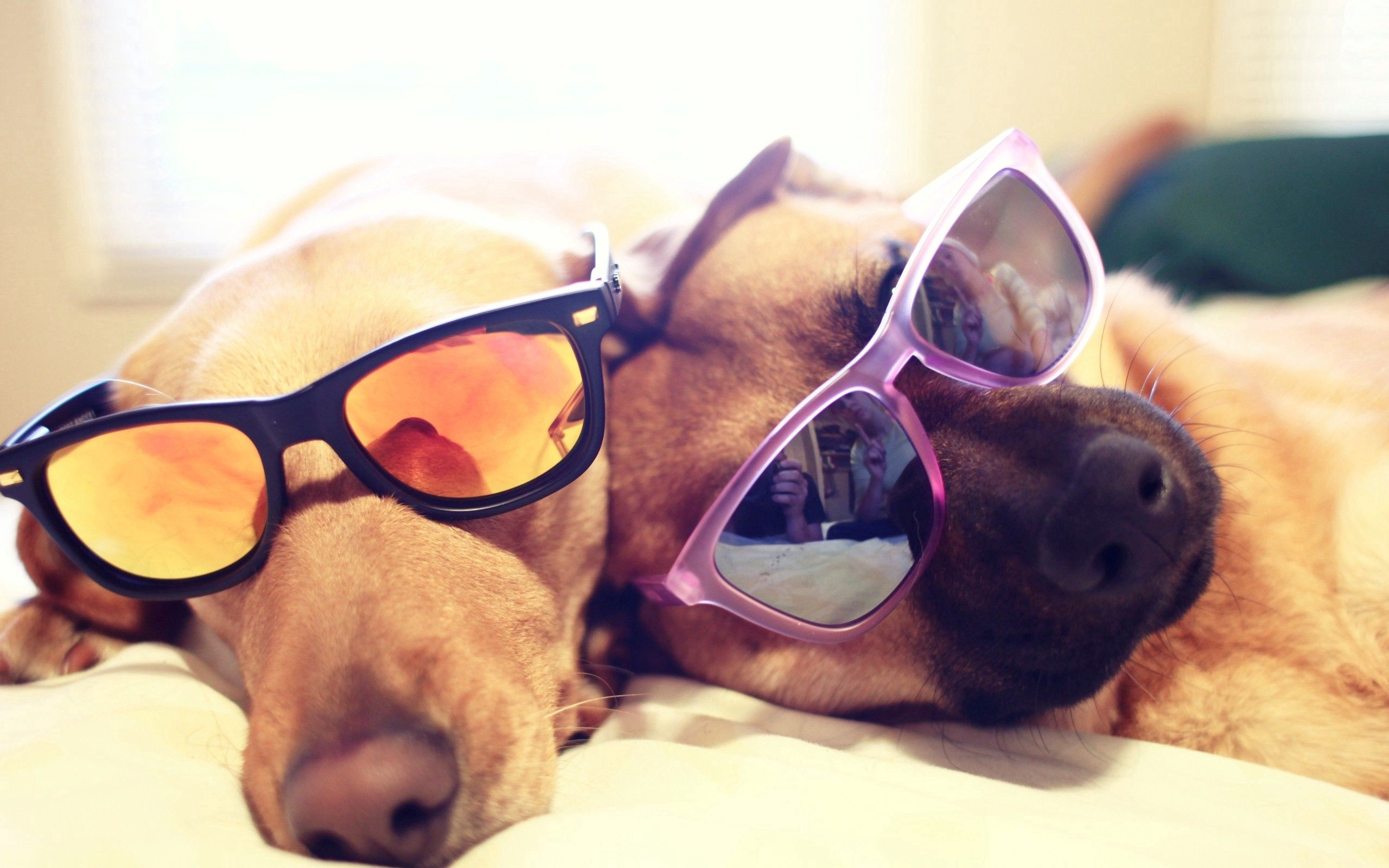 56746 download wallpaper Animals, Dogs, Couple, Pair, Glasses, Spectacles, To Lie Down, Lie screensavers and pictures for free