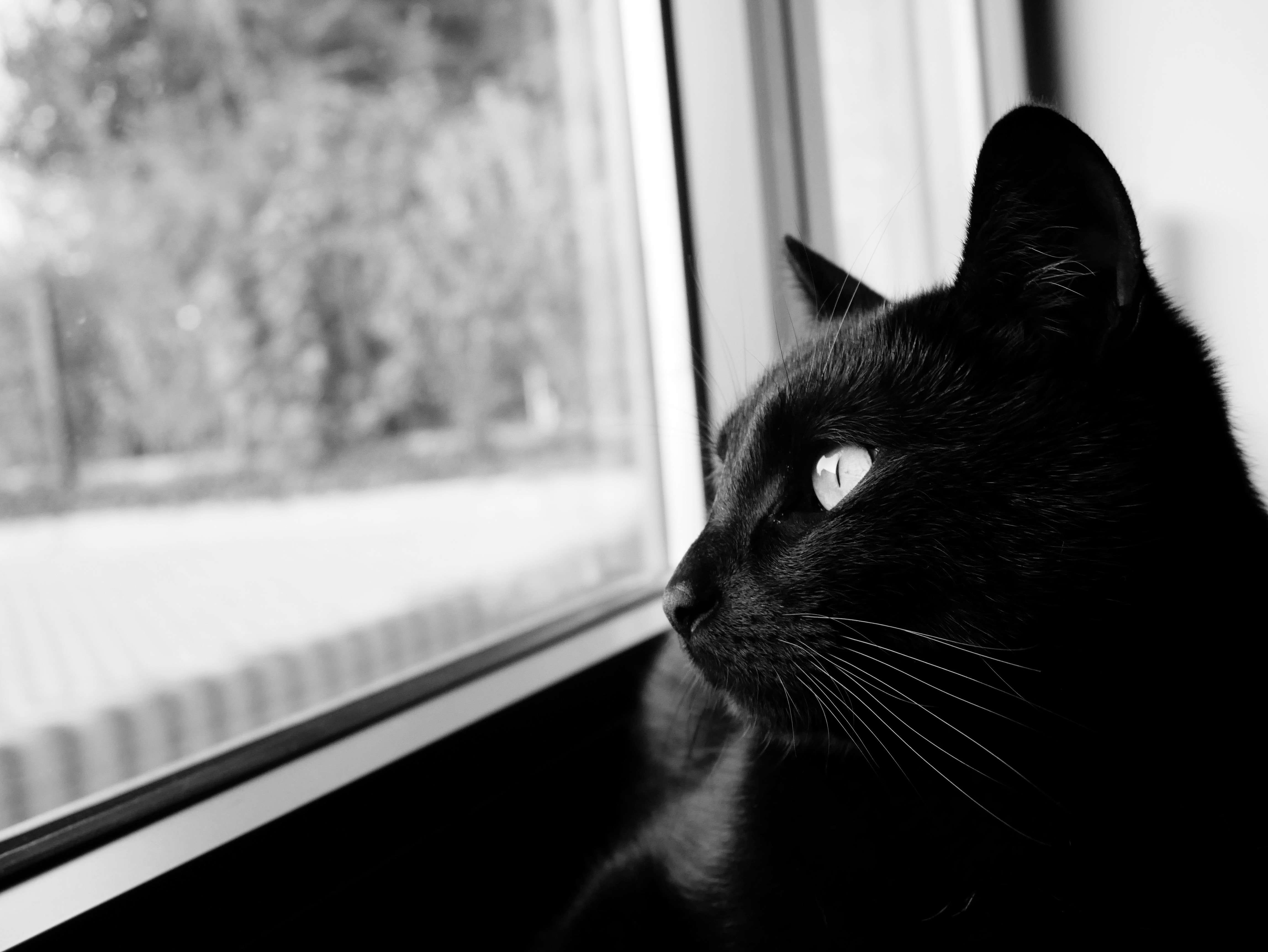 140158 download wallpaper Animals, Cat, Bw, Chb, Black Cat, Muzzle screensavers and pictures for free