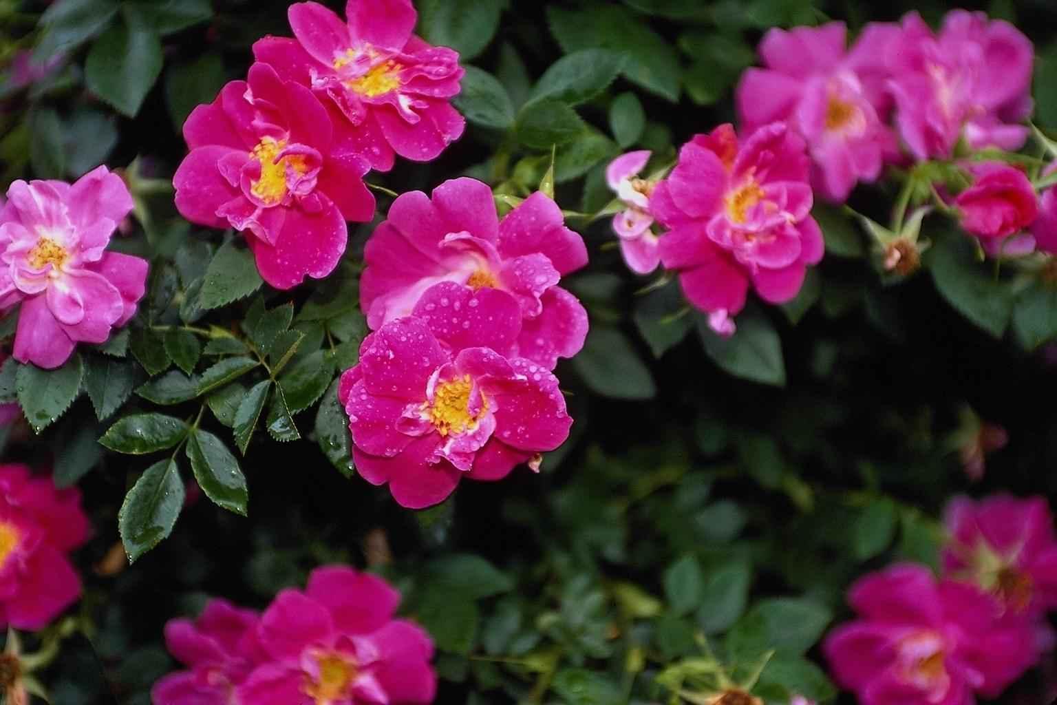 17822 скачать обои Растения, Цветы, Шиповник - заставки и картинки бесплатно