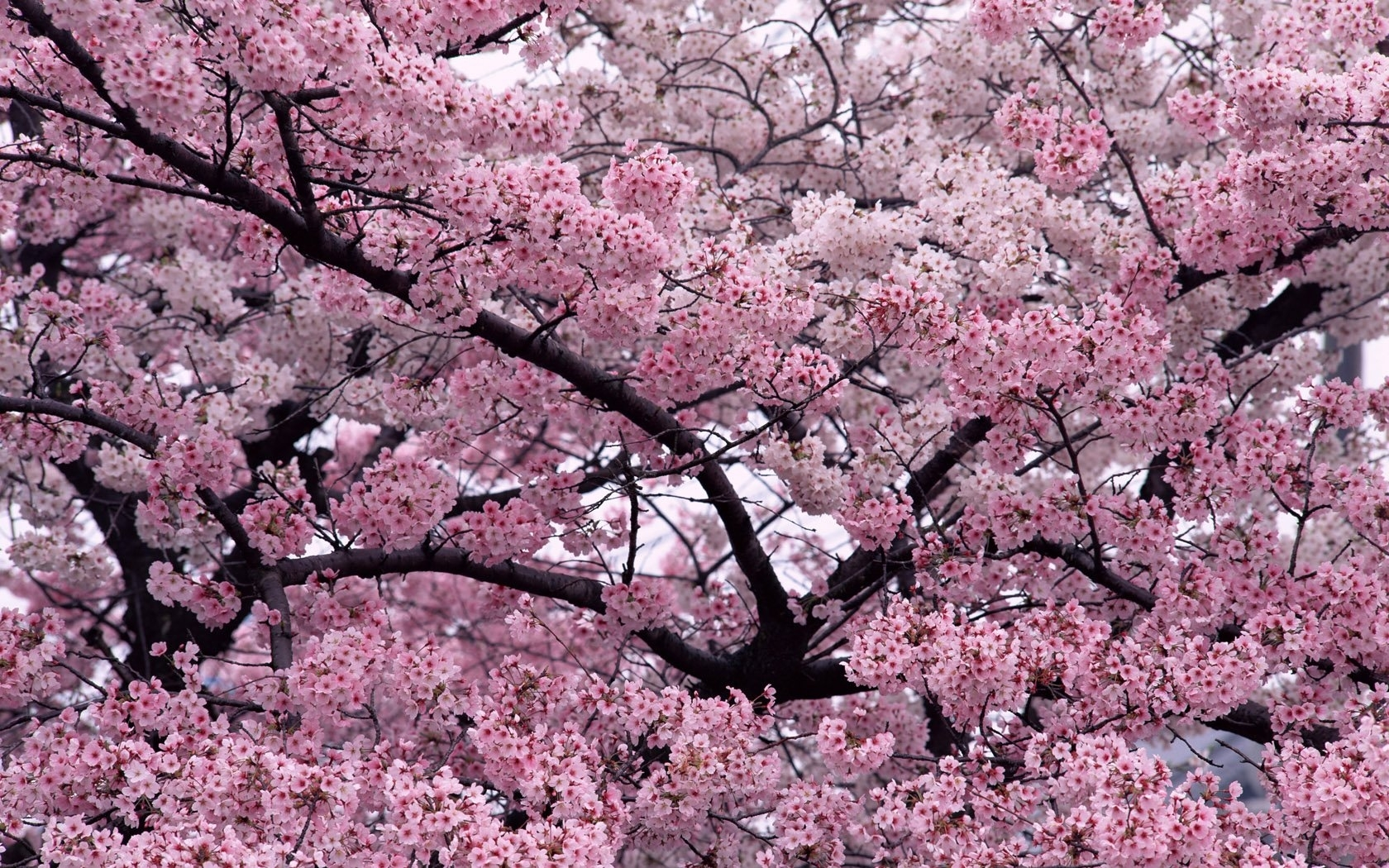 41213 download wallpaper Plants, Flowers, Sakura screensavers and pictures for free