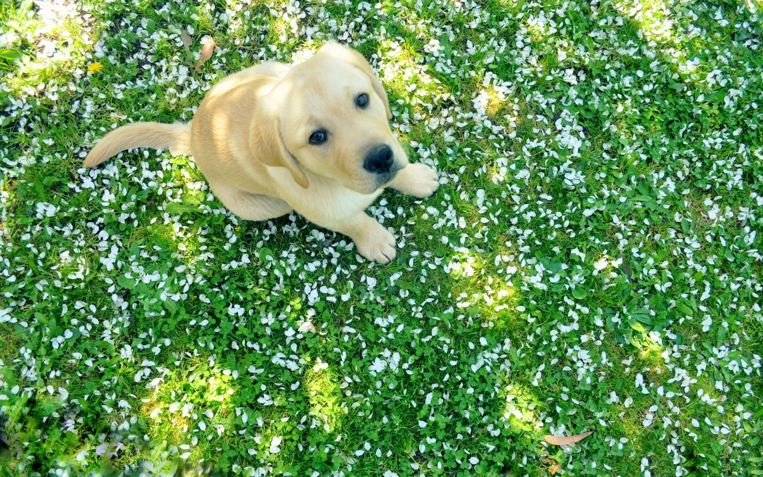 103364 download wallpaper Animals, Dog, Puppy, Labrador, Grass, Sit screensavers and pictures for free