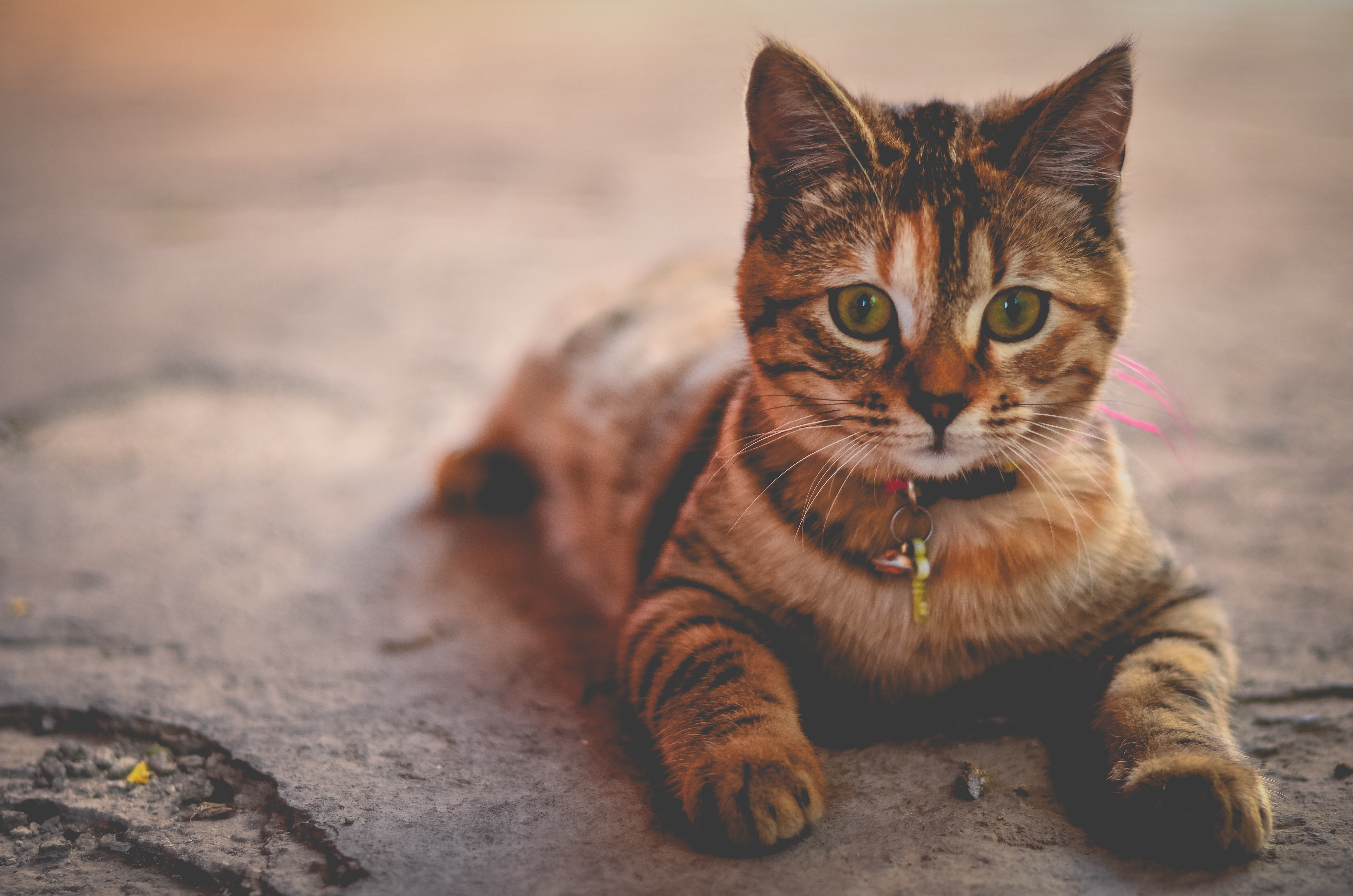 137109 download wallpaper Animals, Lies, Kitty, Kitten, Striped, Collar screensavers and pictures for free