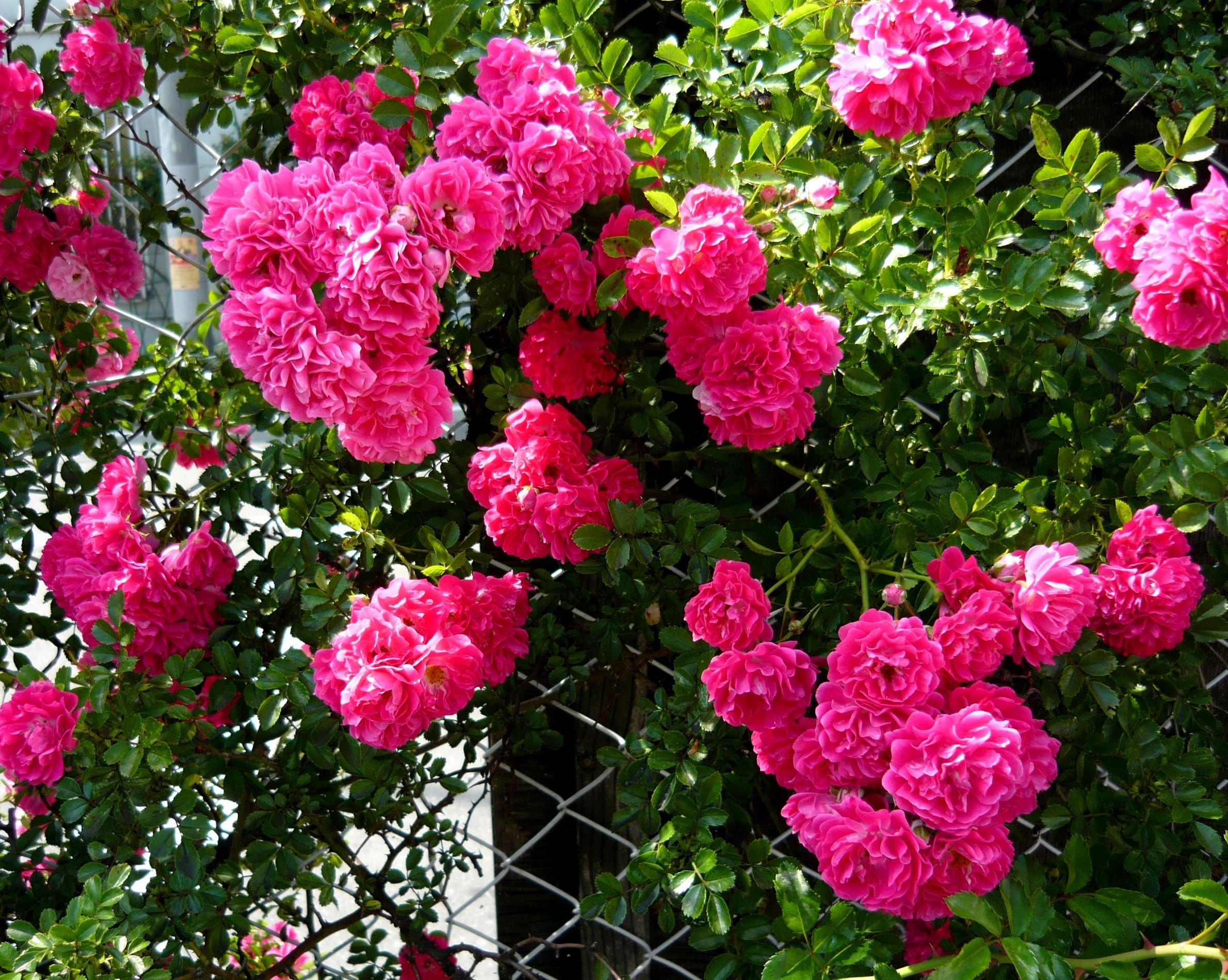 116318 скачать обои Цветы, Шиповник, Цветение, Кустарник, Сетка, Зелень - заставки и картинки бесплатно