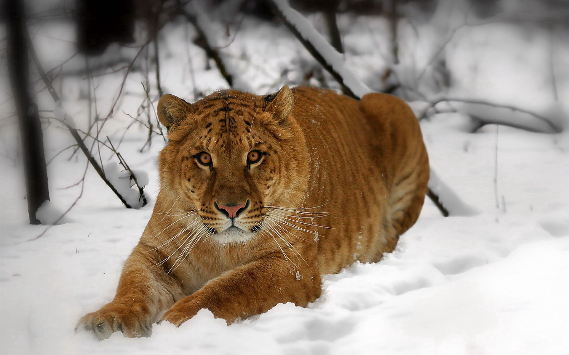 77573 download wallpaper Animals, Tiger, Muzzle, Snow, To Lie Down, Lie, Predator screensavers and pictures for free