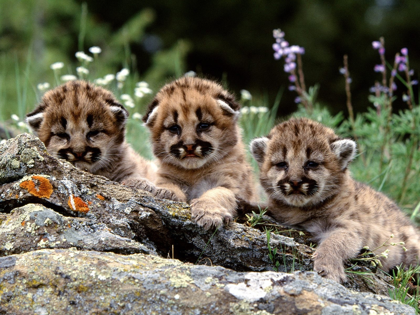 6034 download wallpaper Animals, Cheetah screensavers and pictures for free