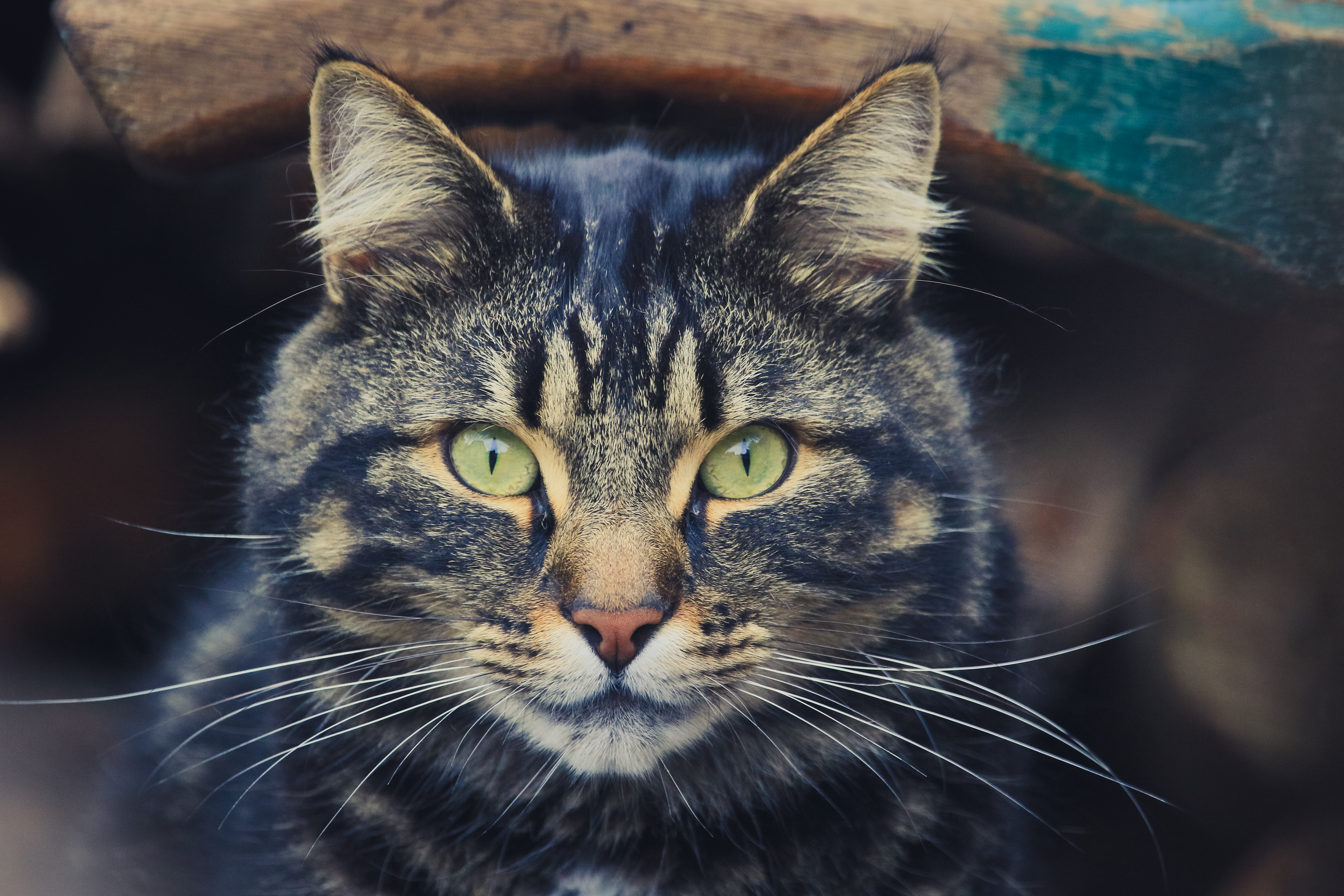 102293 download wallpaper Animals, Cat, Striped, Muzzle, Sight, Opinion, Eyes screensavers and pictures for free